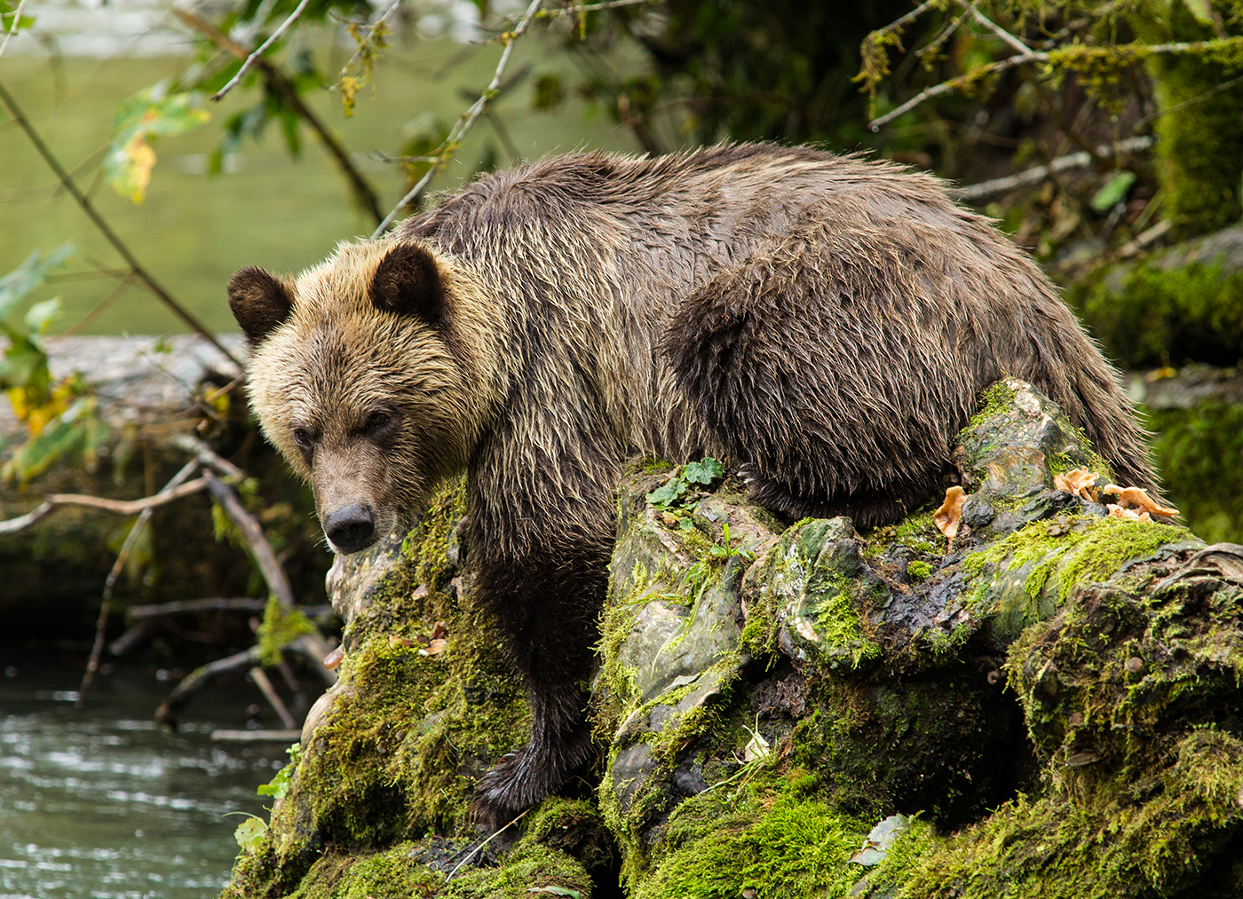 Orferd River Grizzly-0653.jpg