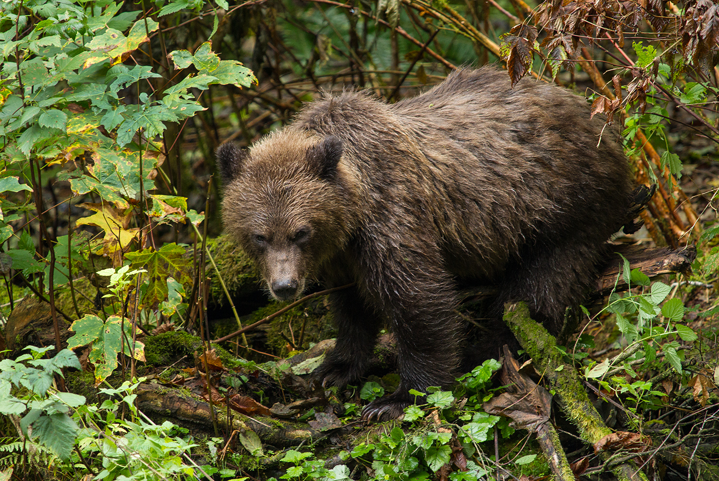 Orferd River Grizzly-0719.jpg