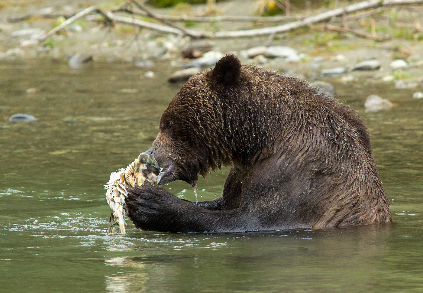Orferd River Grizzly-0884.jpg