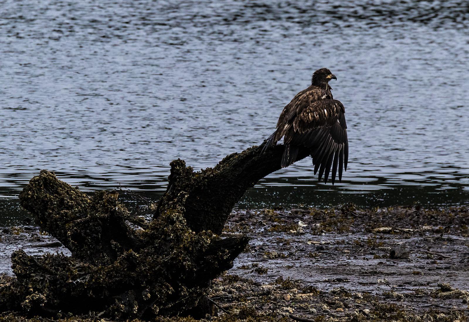 Port Hardy Eagle 2.jpg