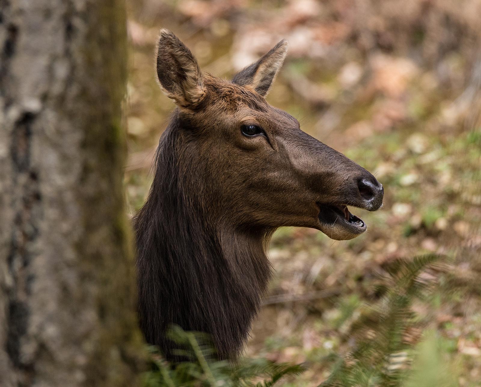 Hiding Elk Cow.jpg