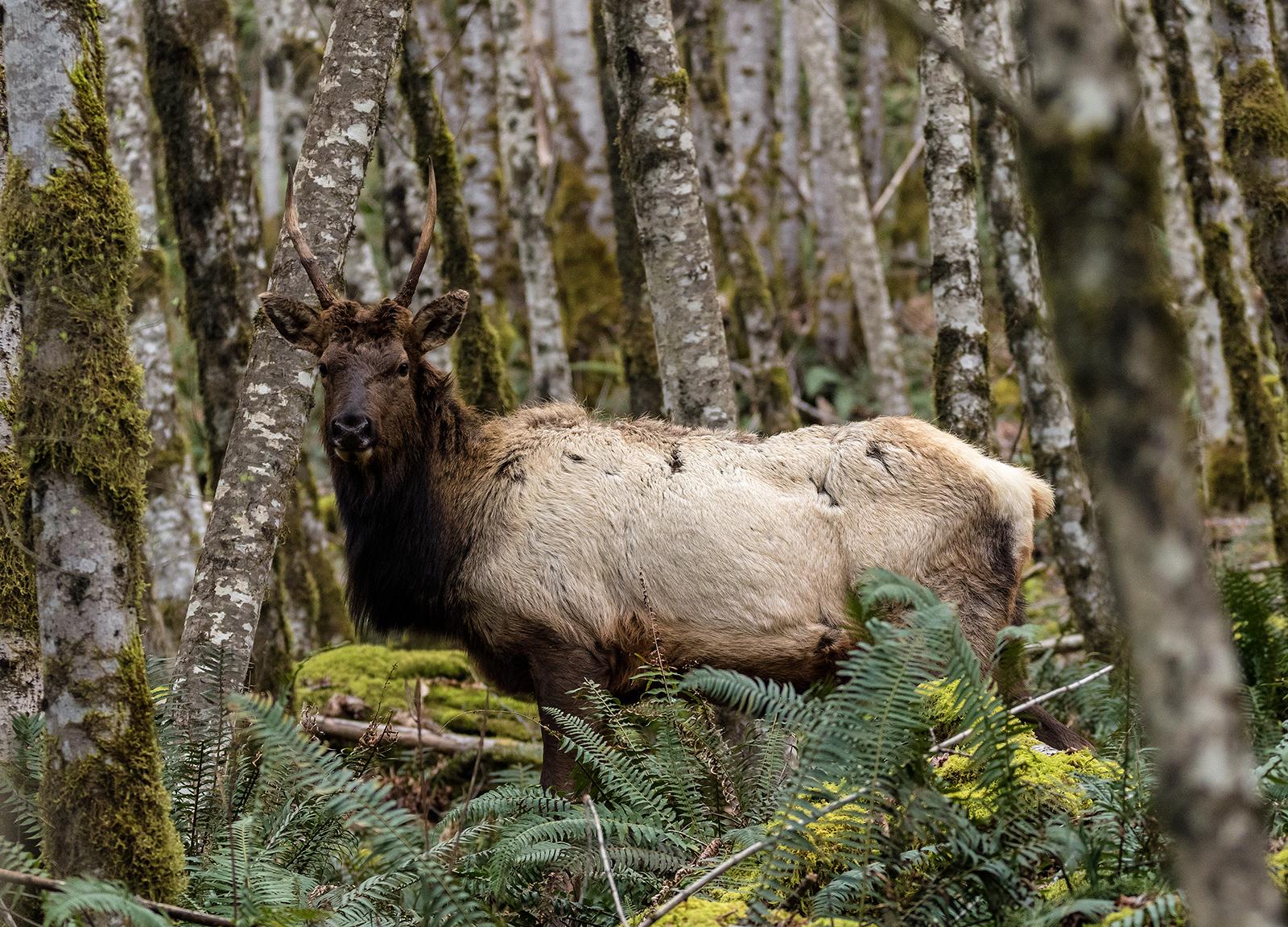 Youbou Elk Bull 2.jpg