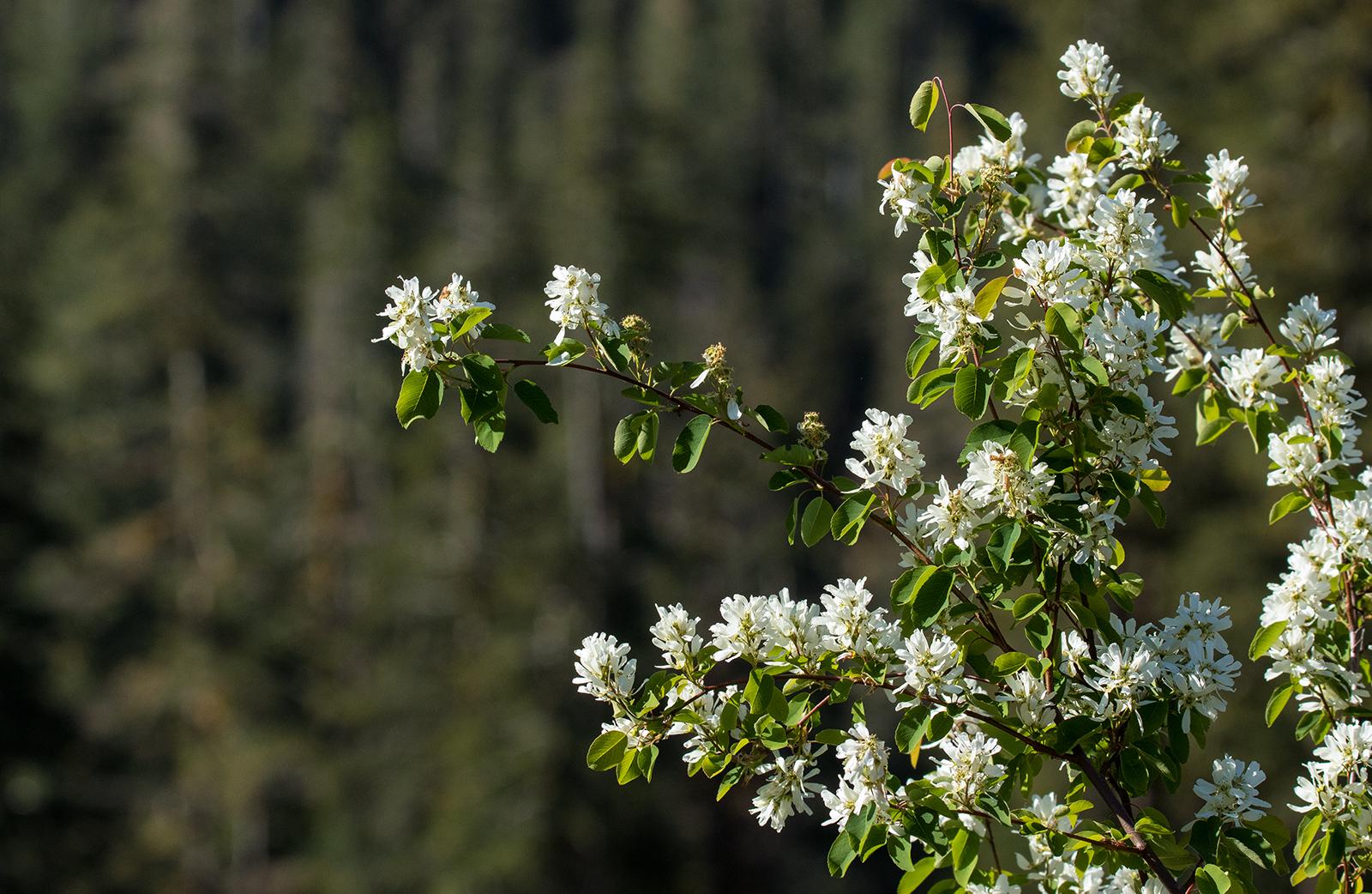 Nahmint Mountain Flowers.jpg