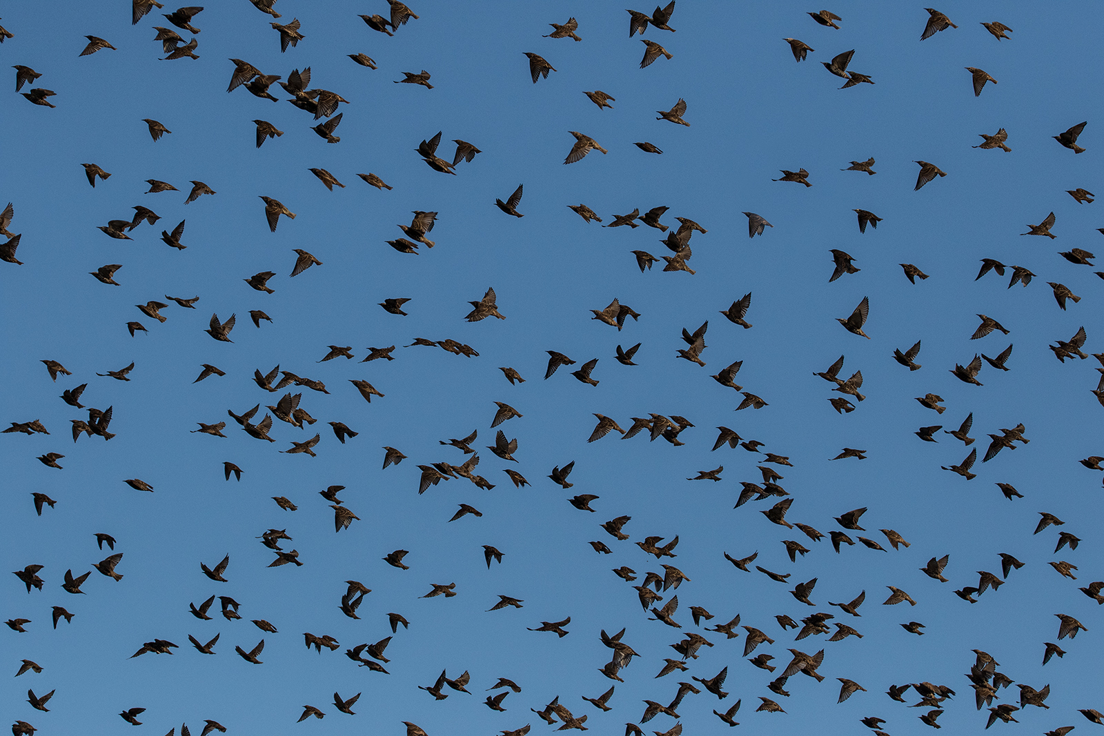 Starlings In The Fall
