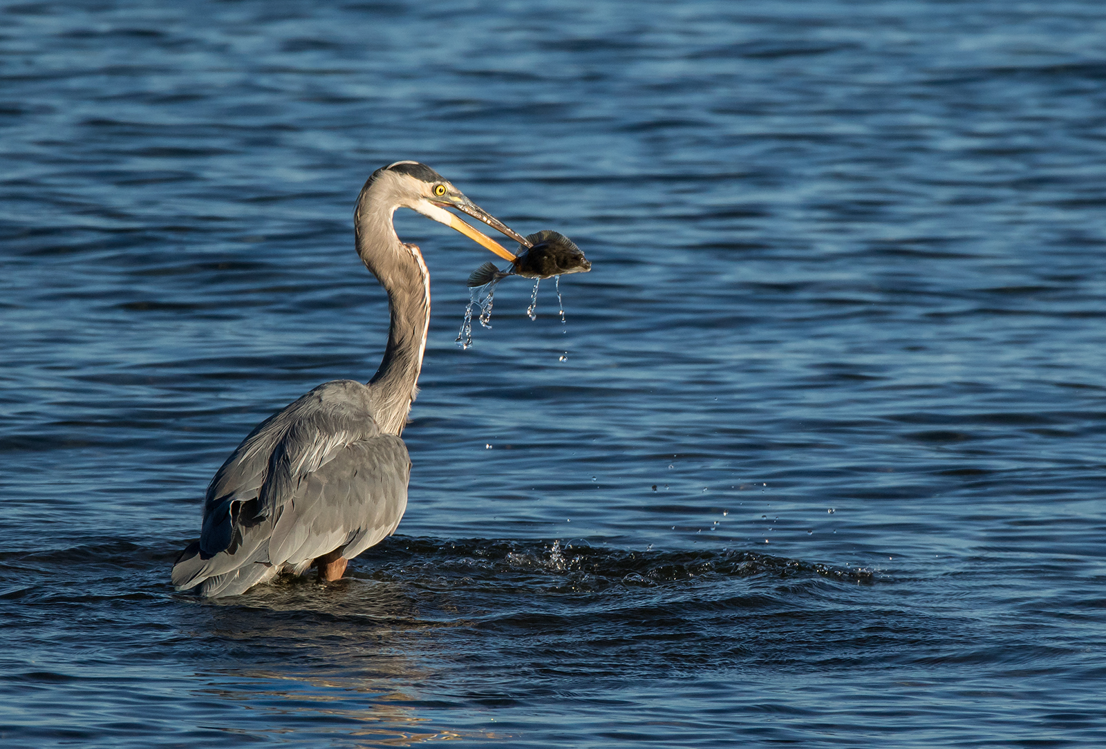 Heron versus Flounder