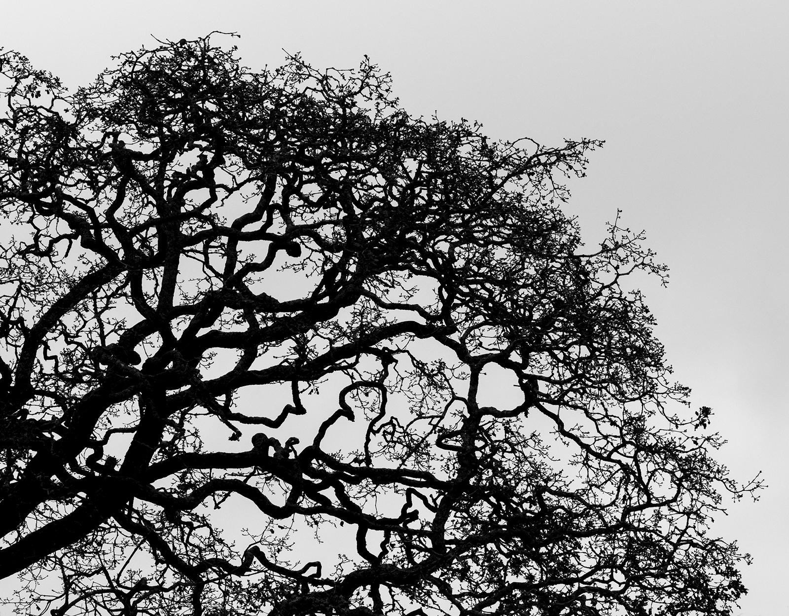Beautiful Twisted Garry Oak
