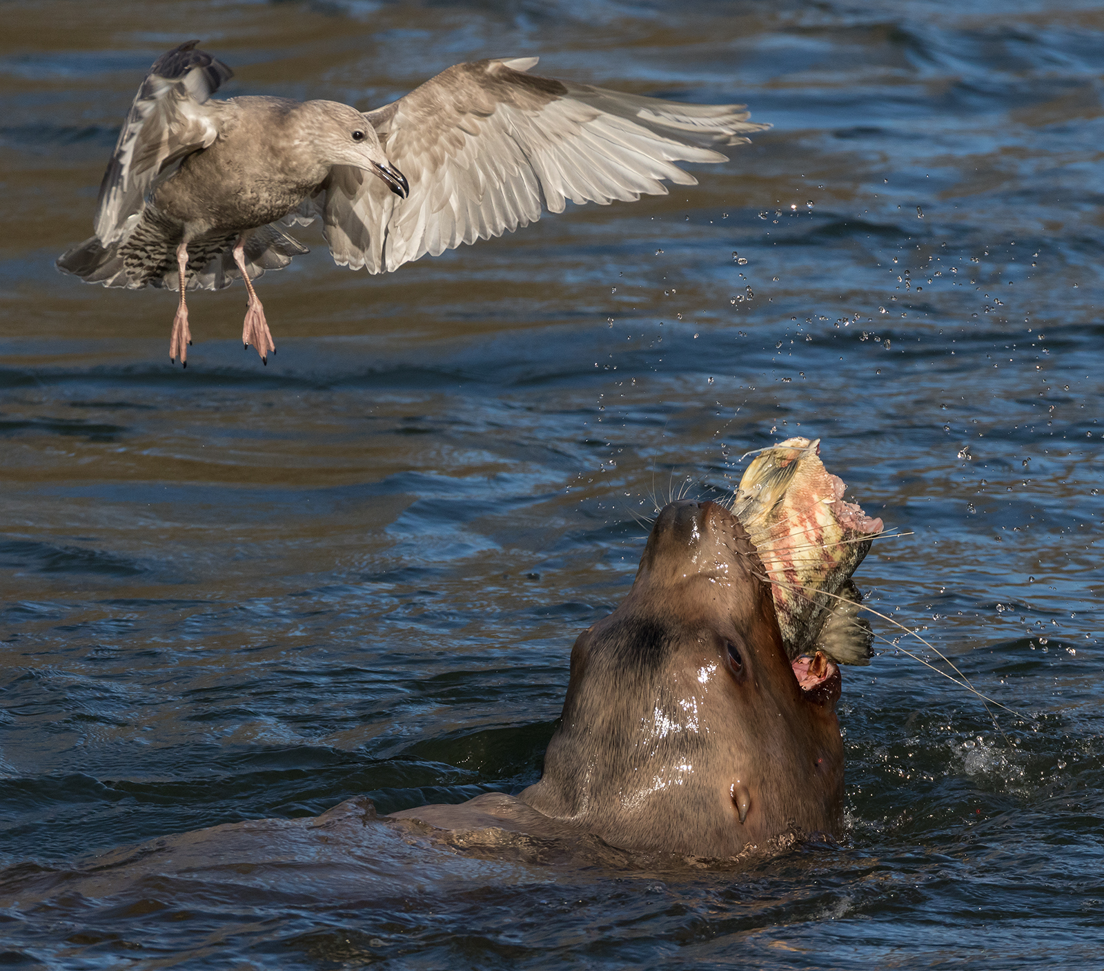 Sea Lion In The Cowichan River Feasting On Chum Salmon