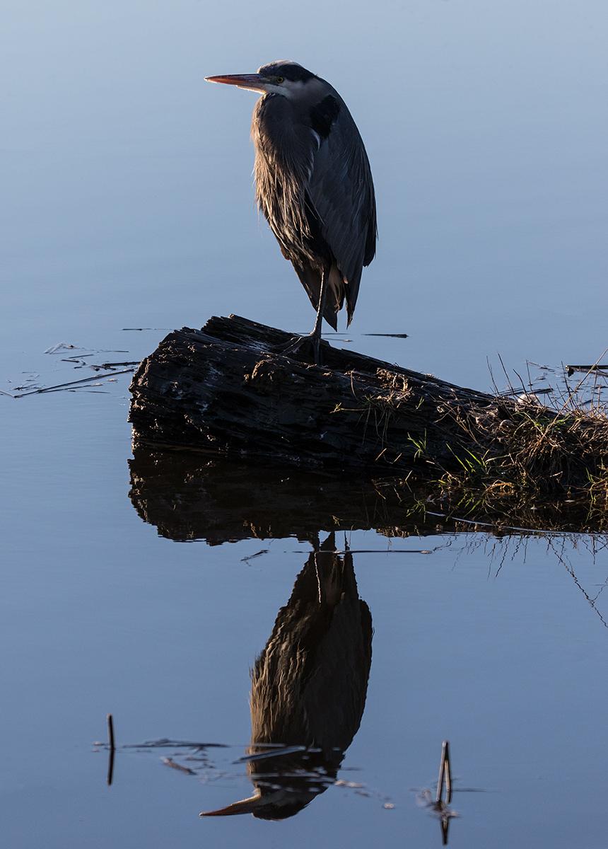 Cowichan River Heron 2.jpg