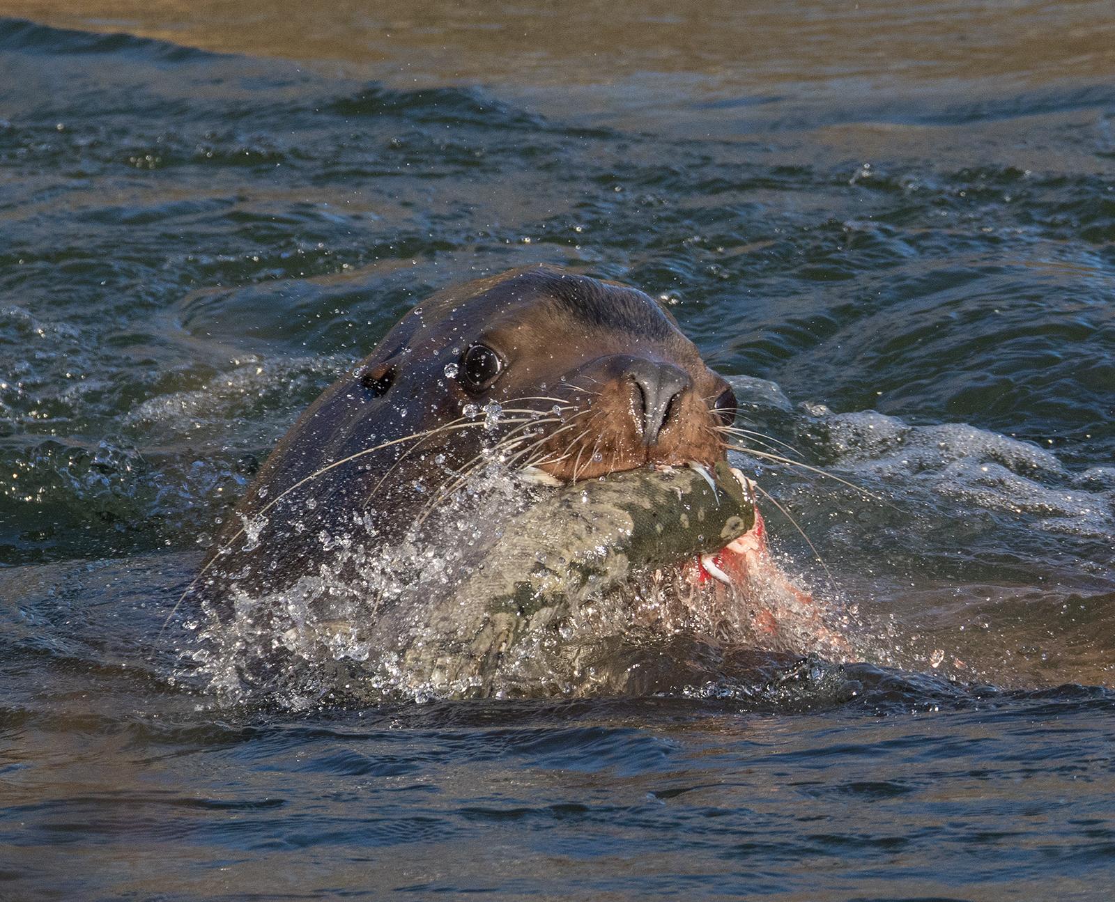 Cowichan River Sea Lion 3.jpg