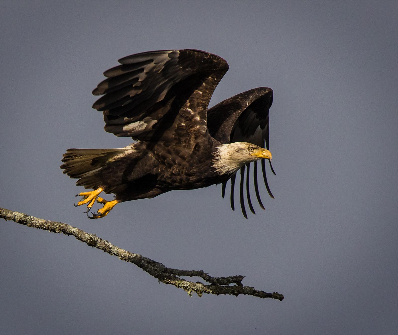 Deep Bay Bald Eagle.jpg