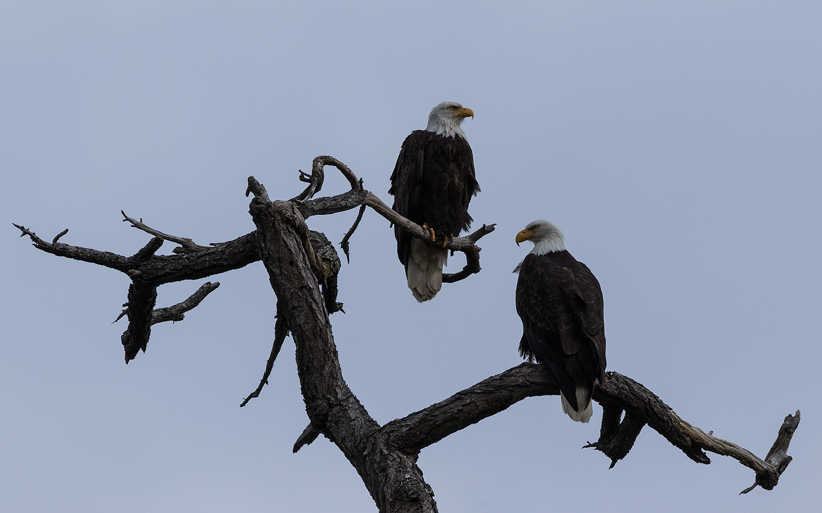 Nanoose Eagles.jpg
