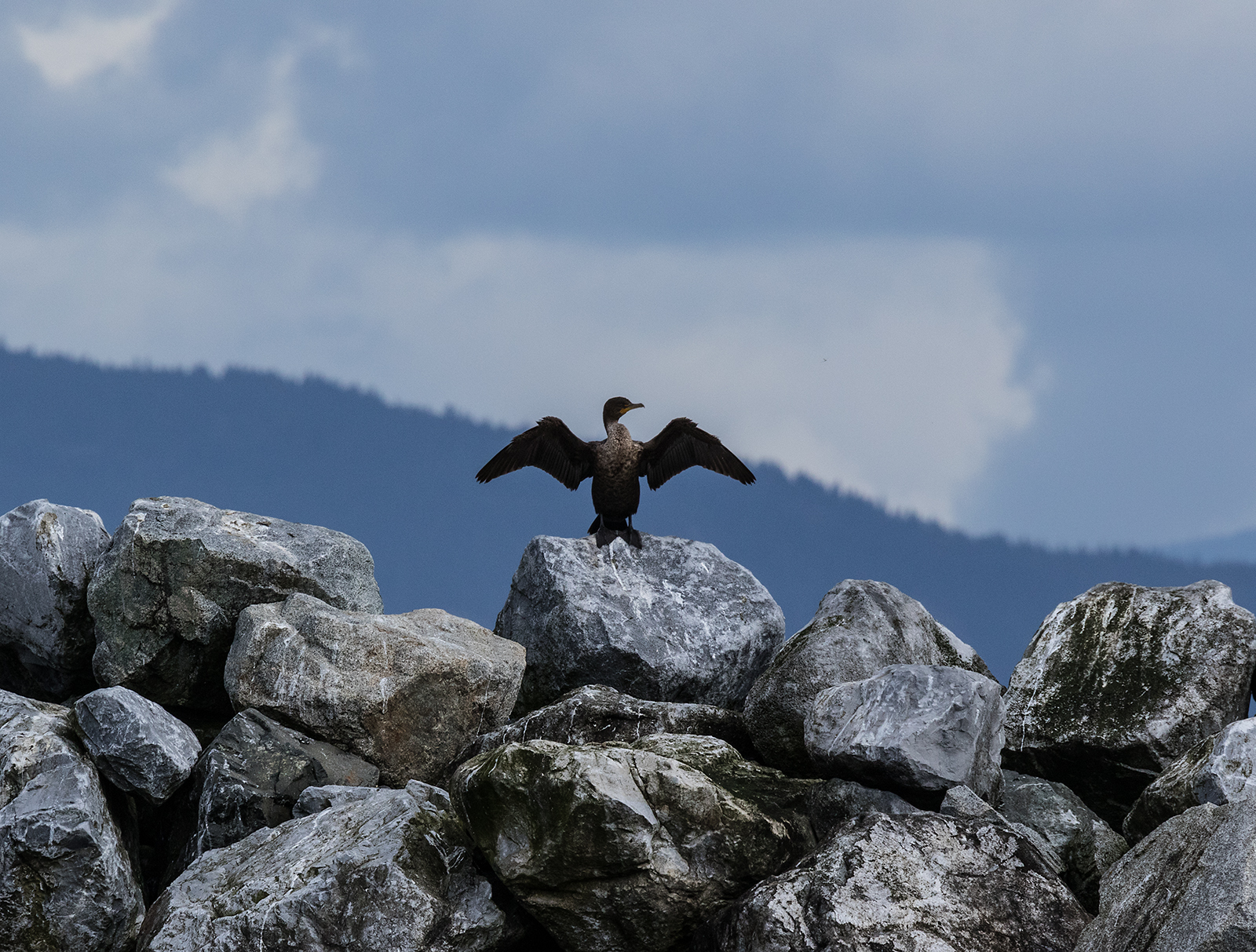 French Creek Cormorant.jpg