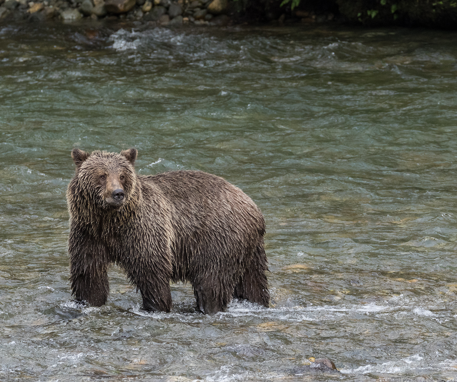 Toba Inlet Grizzly 002.jpg