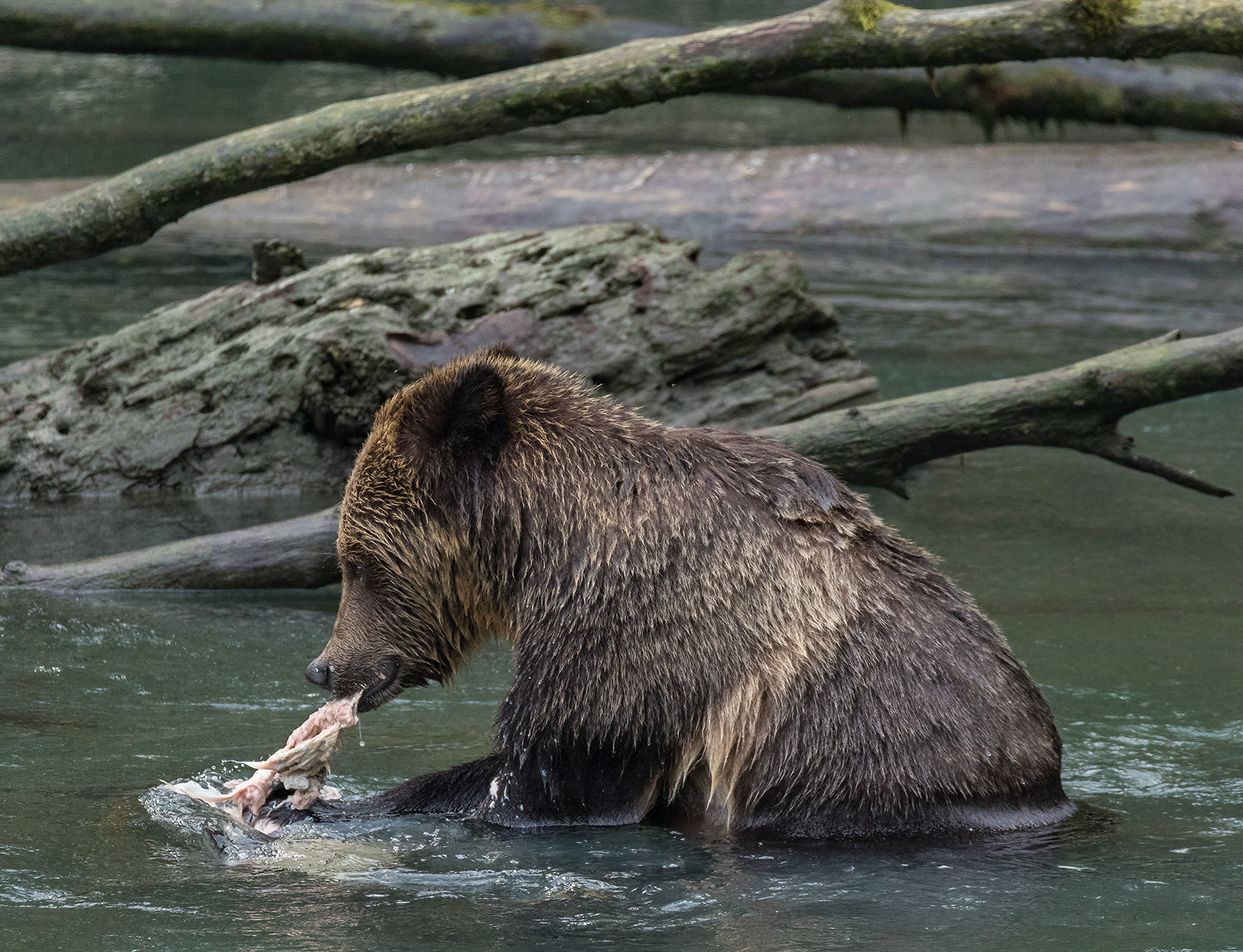 Toba Inlet Grizzly 008.jpg