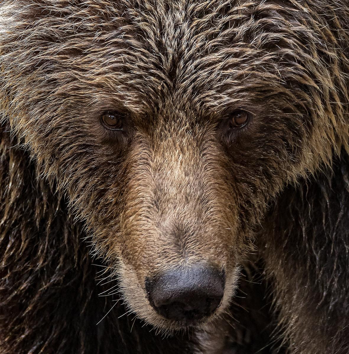 Klite River Grizzly