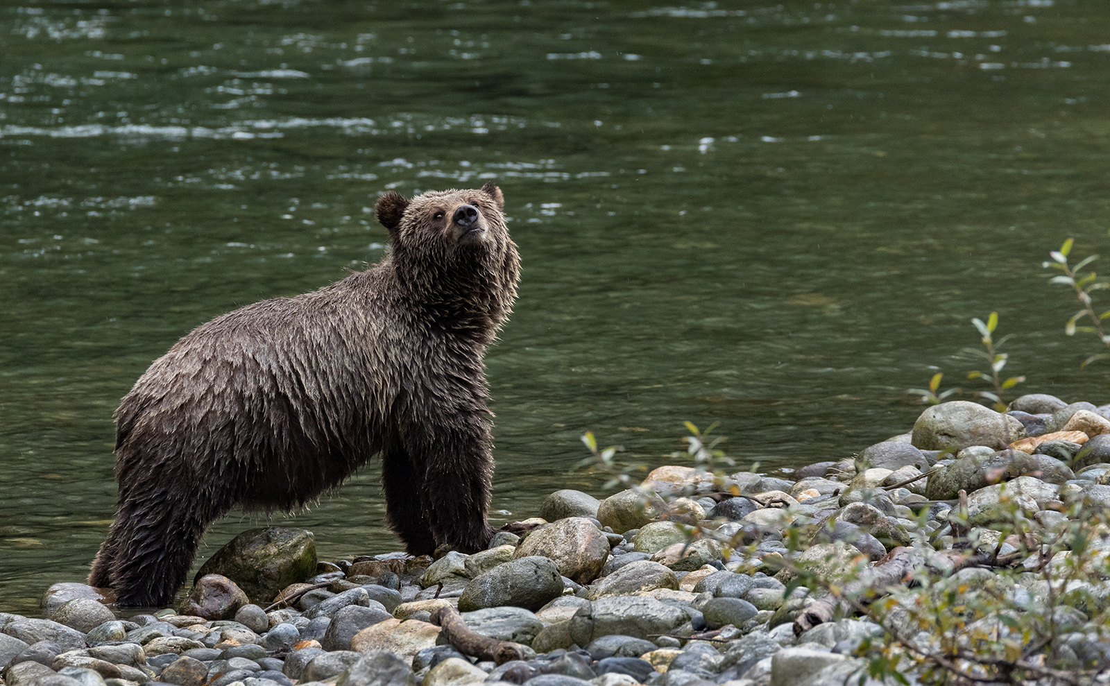 Toba Inlet Grizzly 011.jpg