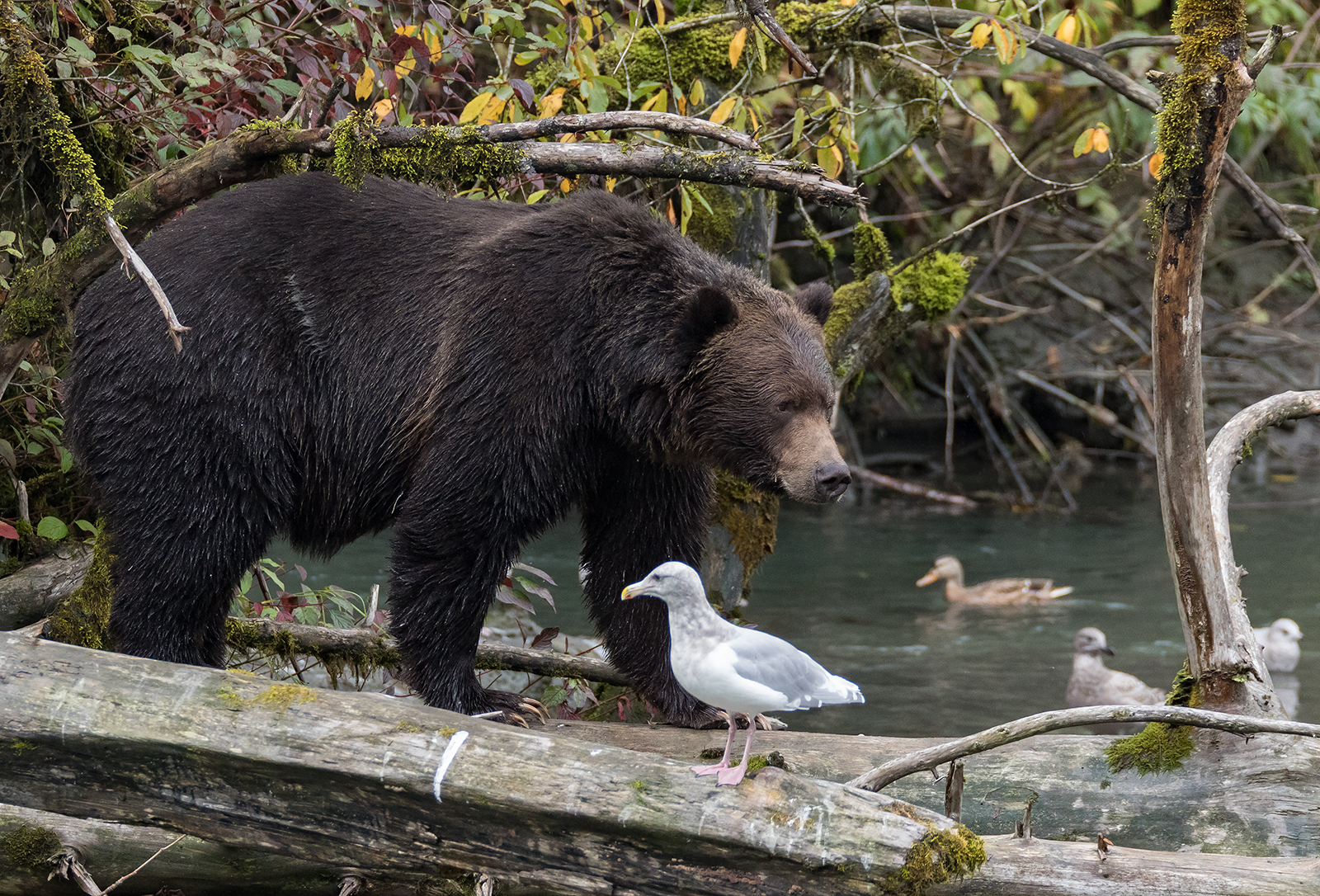 Toba Inlet Grizzly 010.jpg