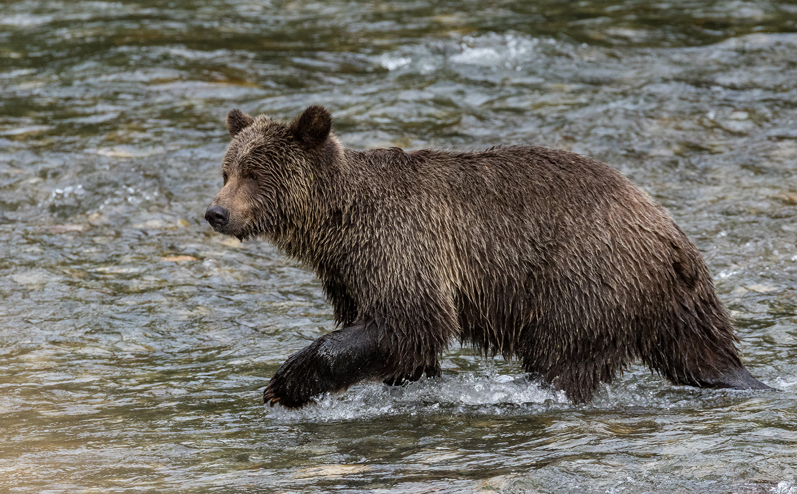 Toba Inlet Grizzly 014.jpg