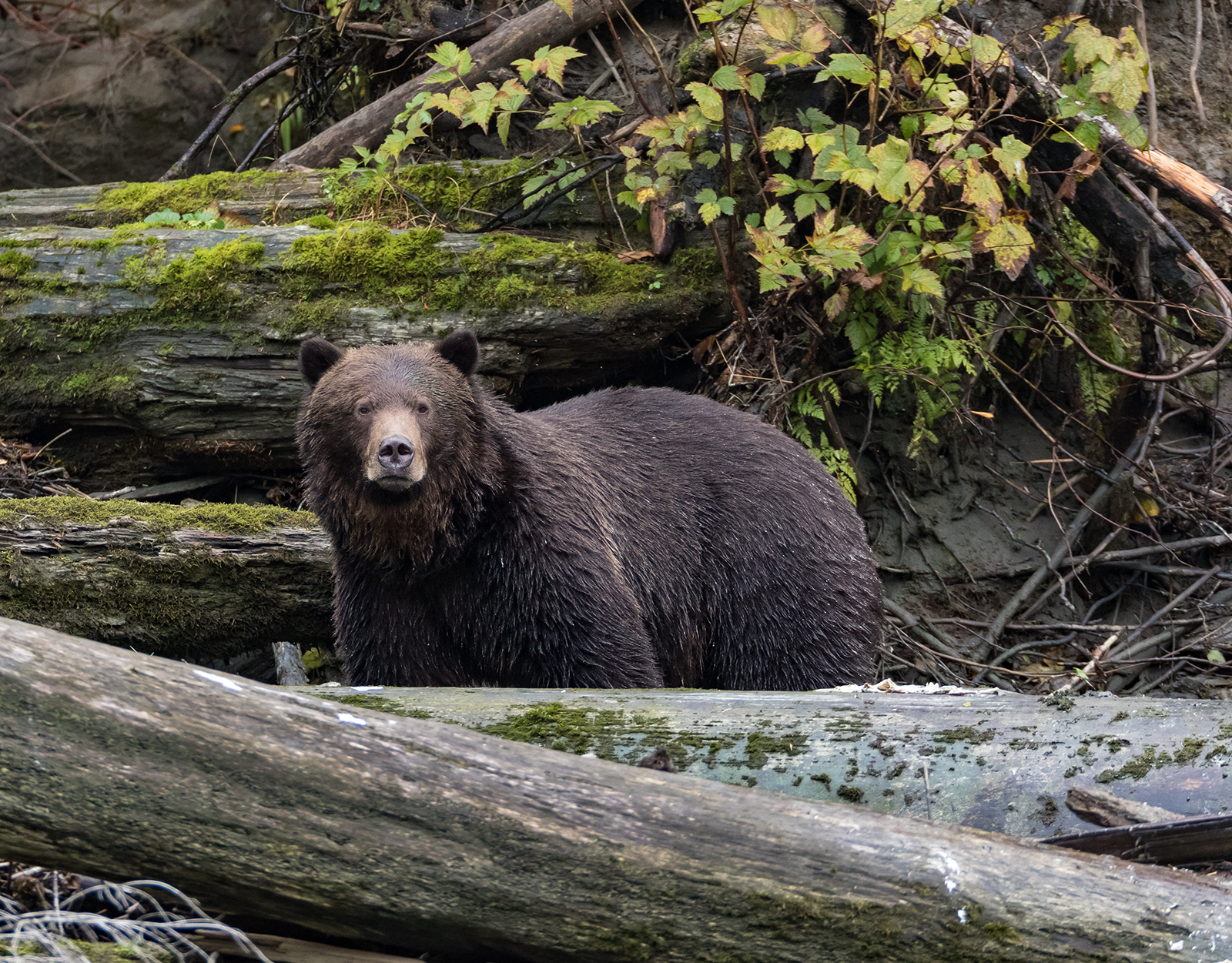 Toba Inlet Grizzly 016.jpg