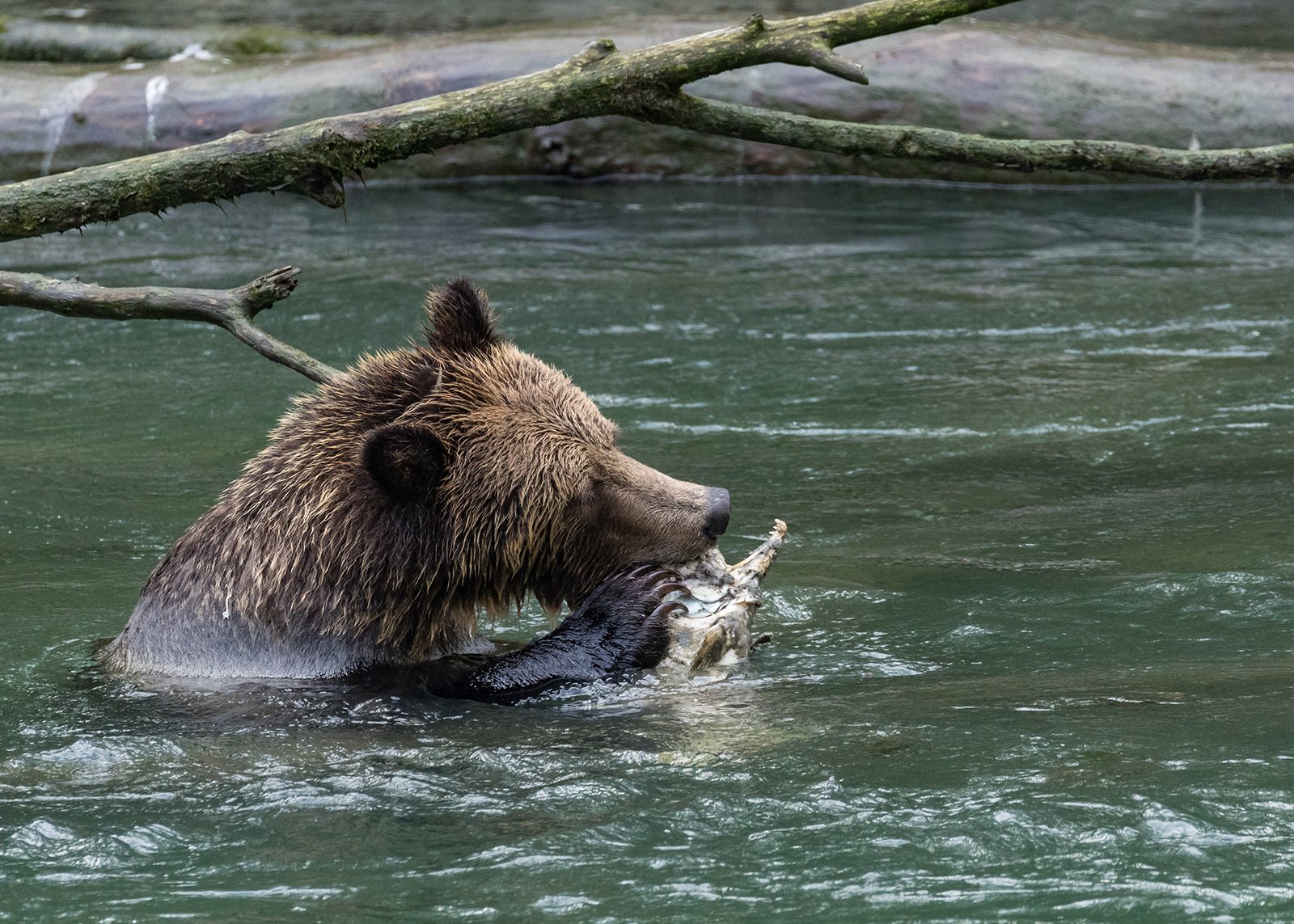 Toba Inlet Grizzly 017.jpg