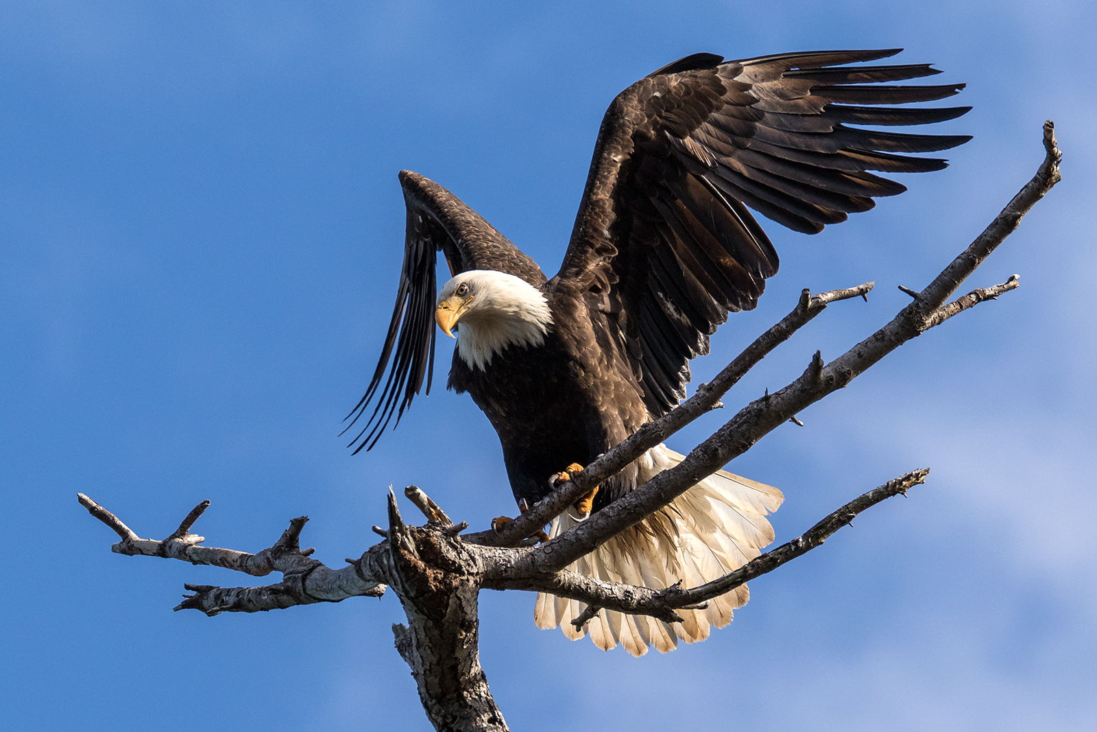 A Bald Eagle watches all the action on the Parksville beaches
