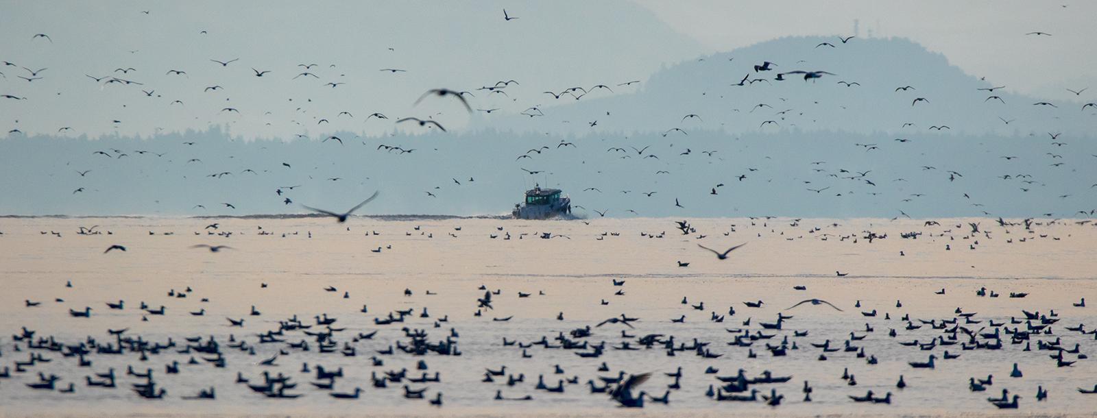 Seagulls mass in Lambrt Channel between Hornby and Denman Islands