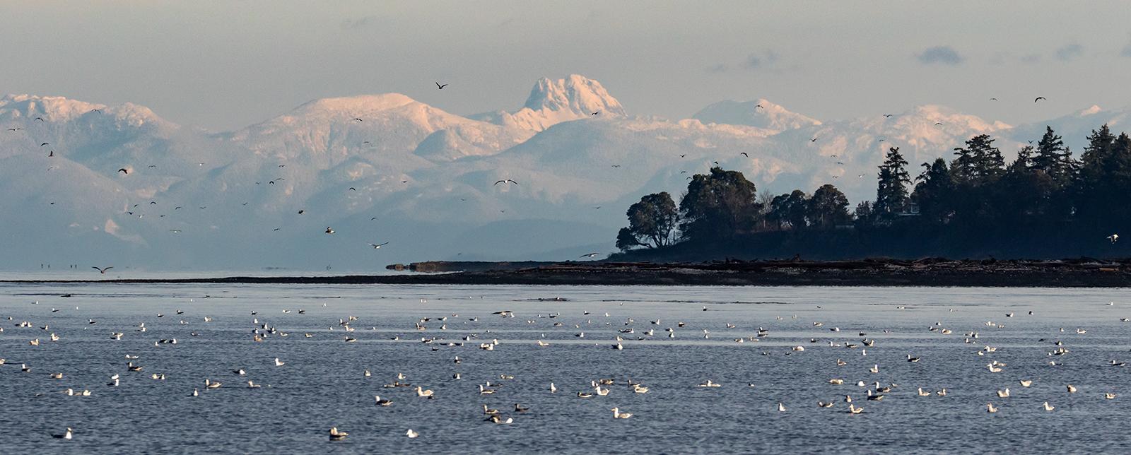 Seagulls mass in Lambert Channel between Hornby and Denman Islands