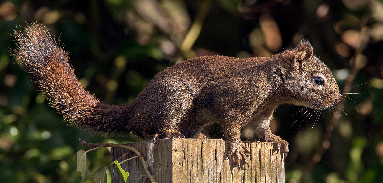 A native red squirrel in Parksville (no herring involved :))