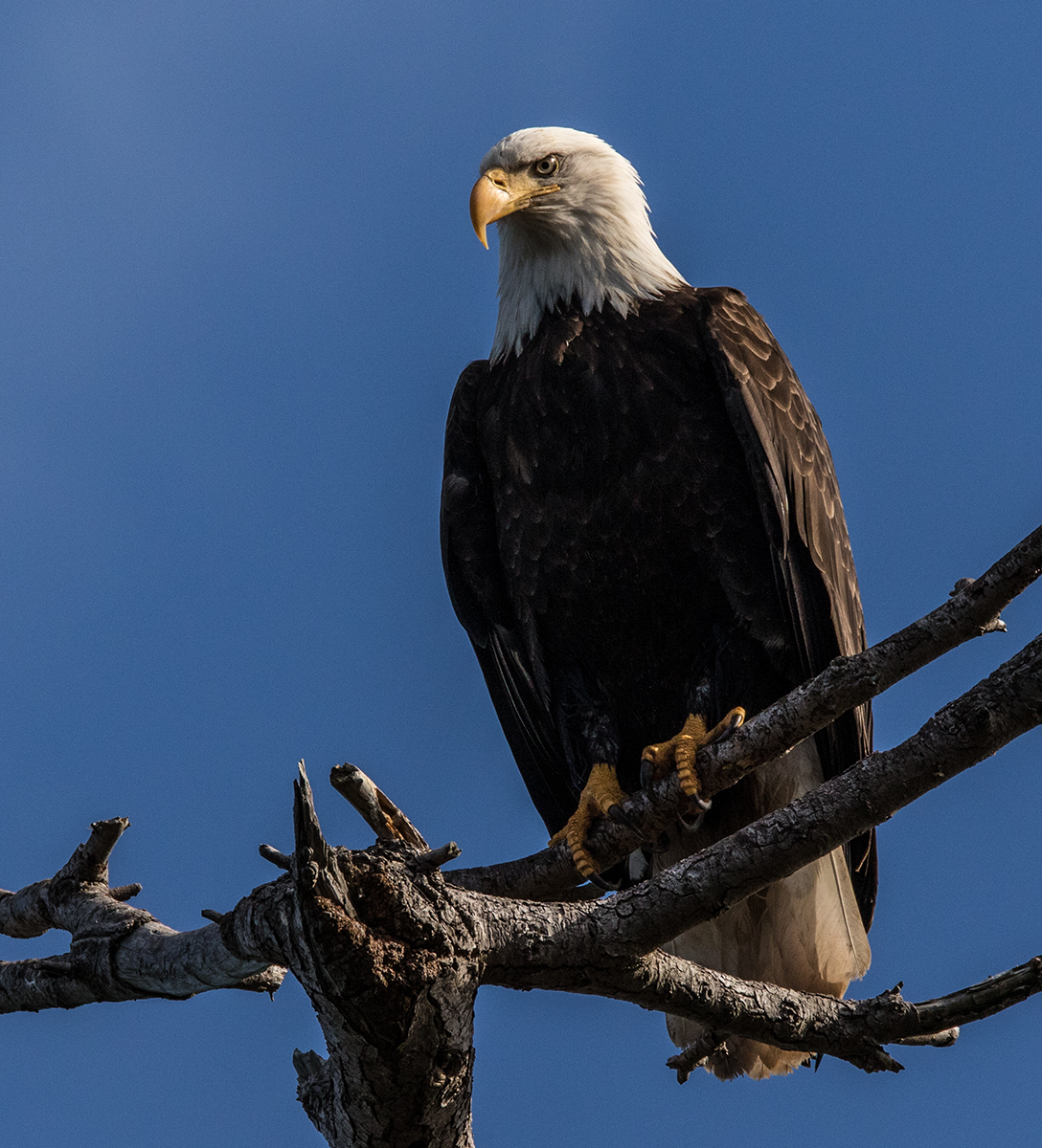 Bald Eagle watched over the Herring spawn in Parksville