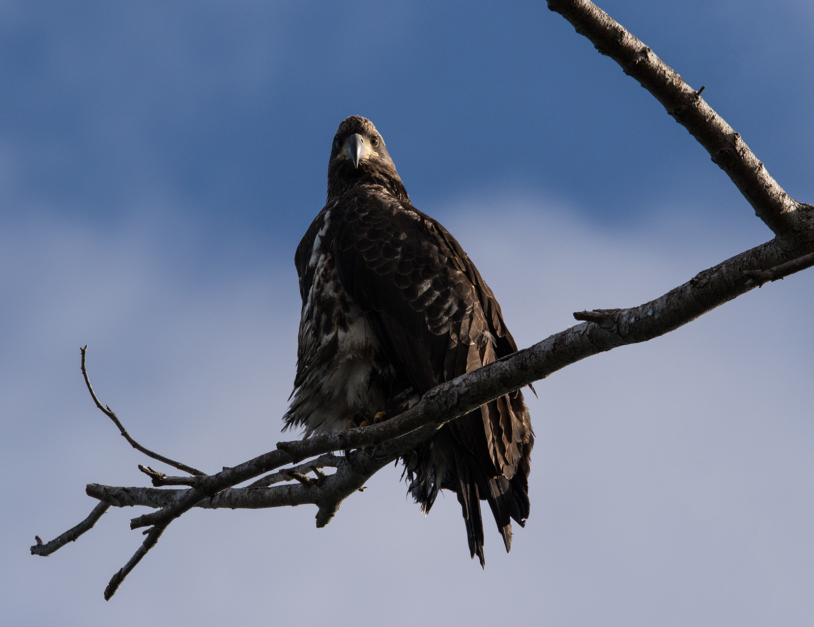 Juvenile Bald Eagle dries its wings after a breakfast of herring