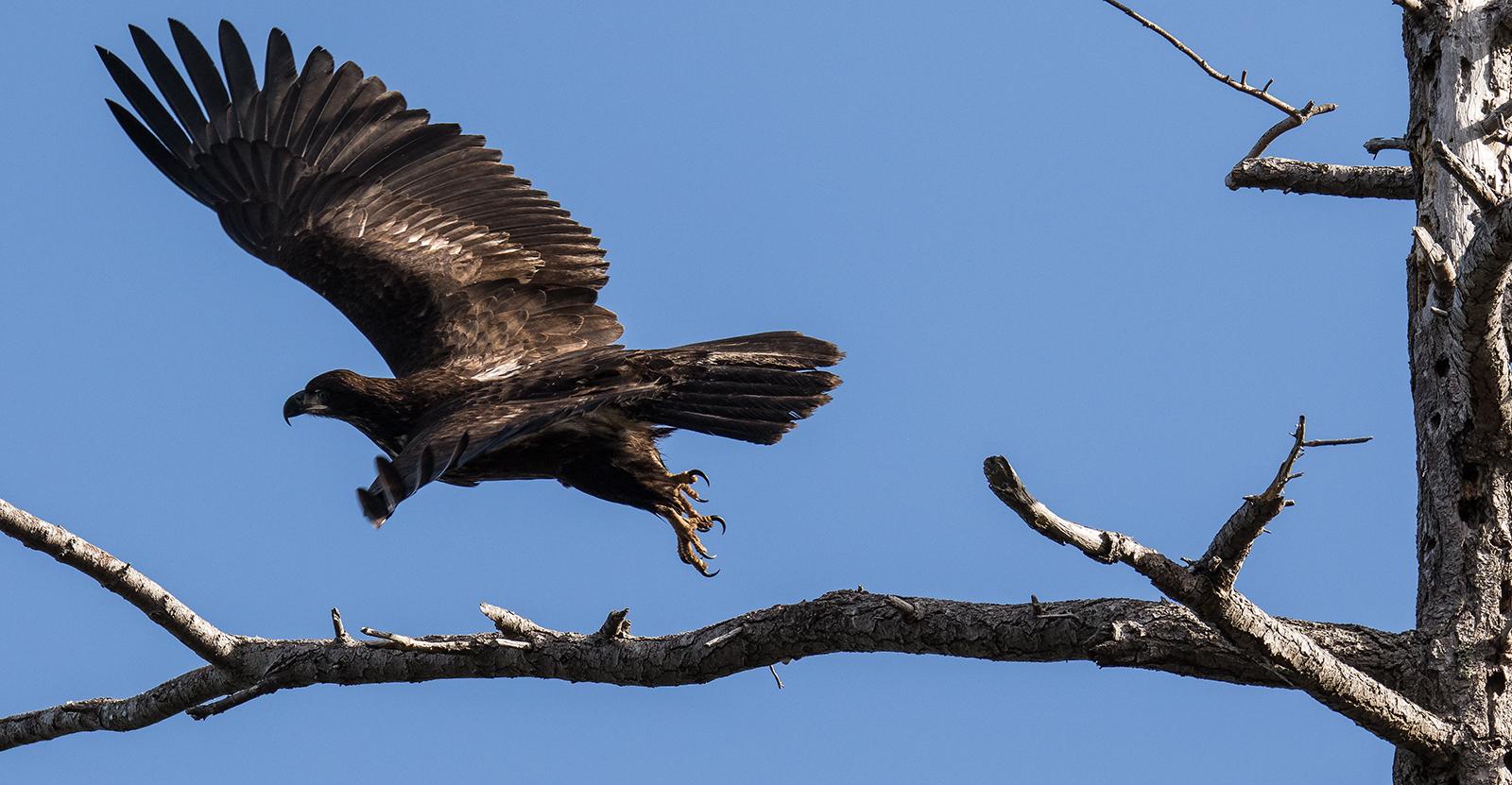 A Juvenile Bald Eagle goes back for seconds