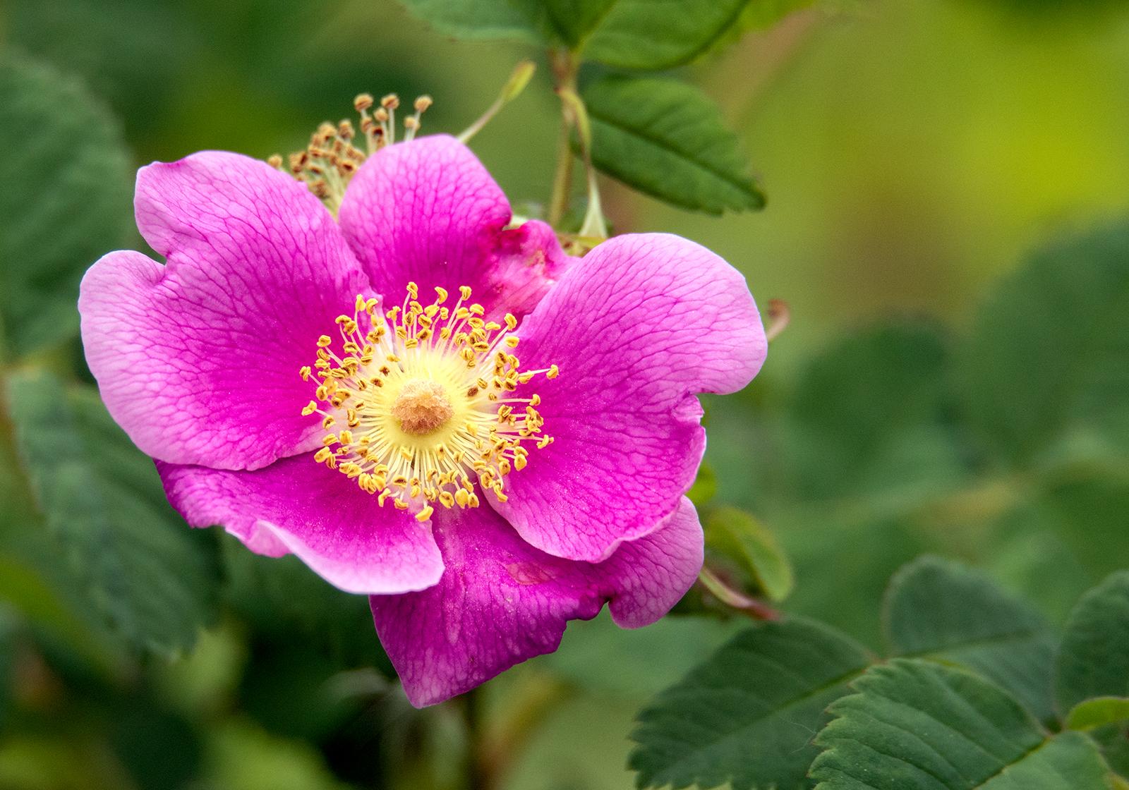 Wild Rose shot at 600mm's!