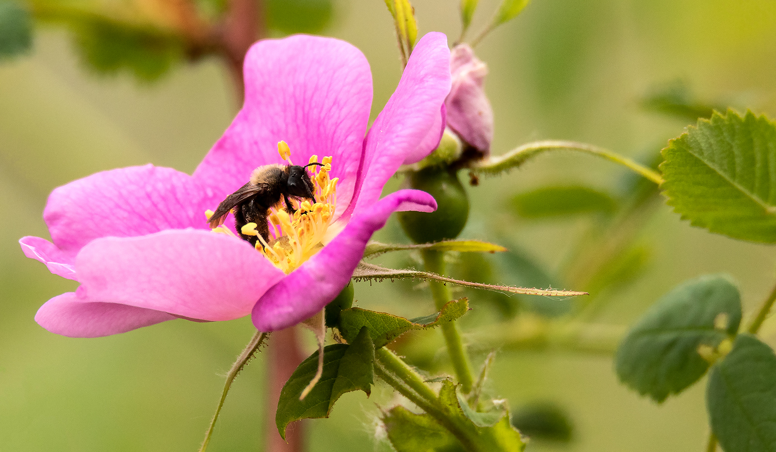 Bee On Wild Rose At 600mm's!