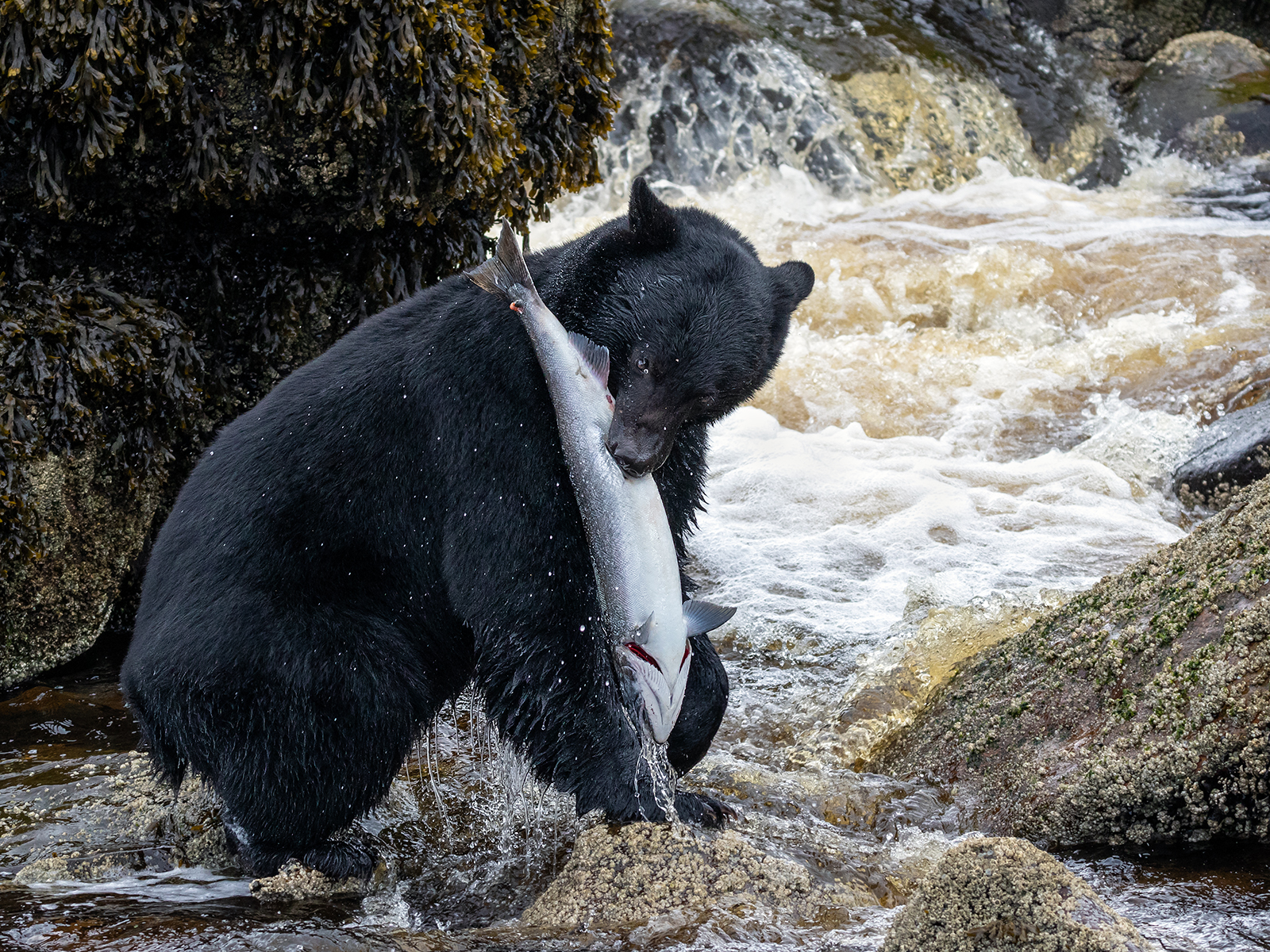 Black Bear Catching A Beautiful Silver Coho Salmon In Port Hardy