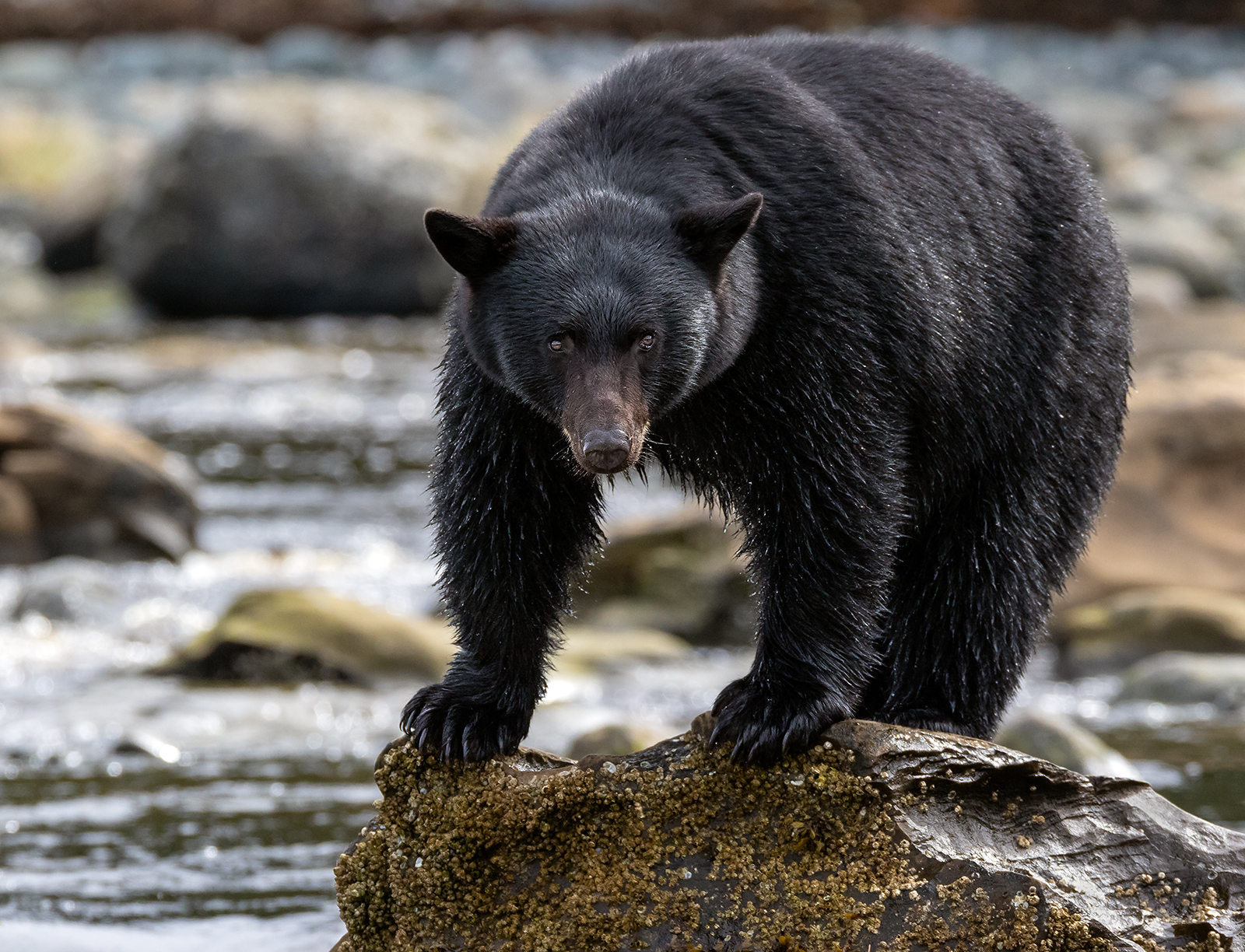 Black Bear Watching Intently For Spawning Salmon In Port Hardy