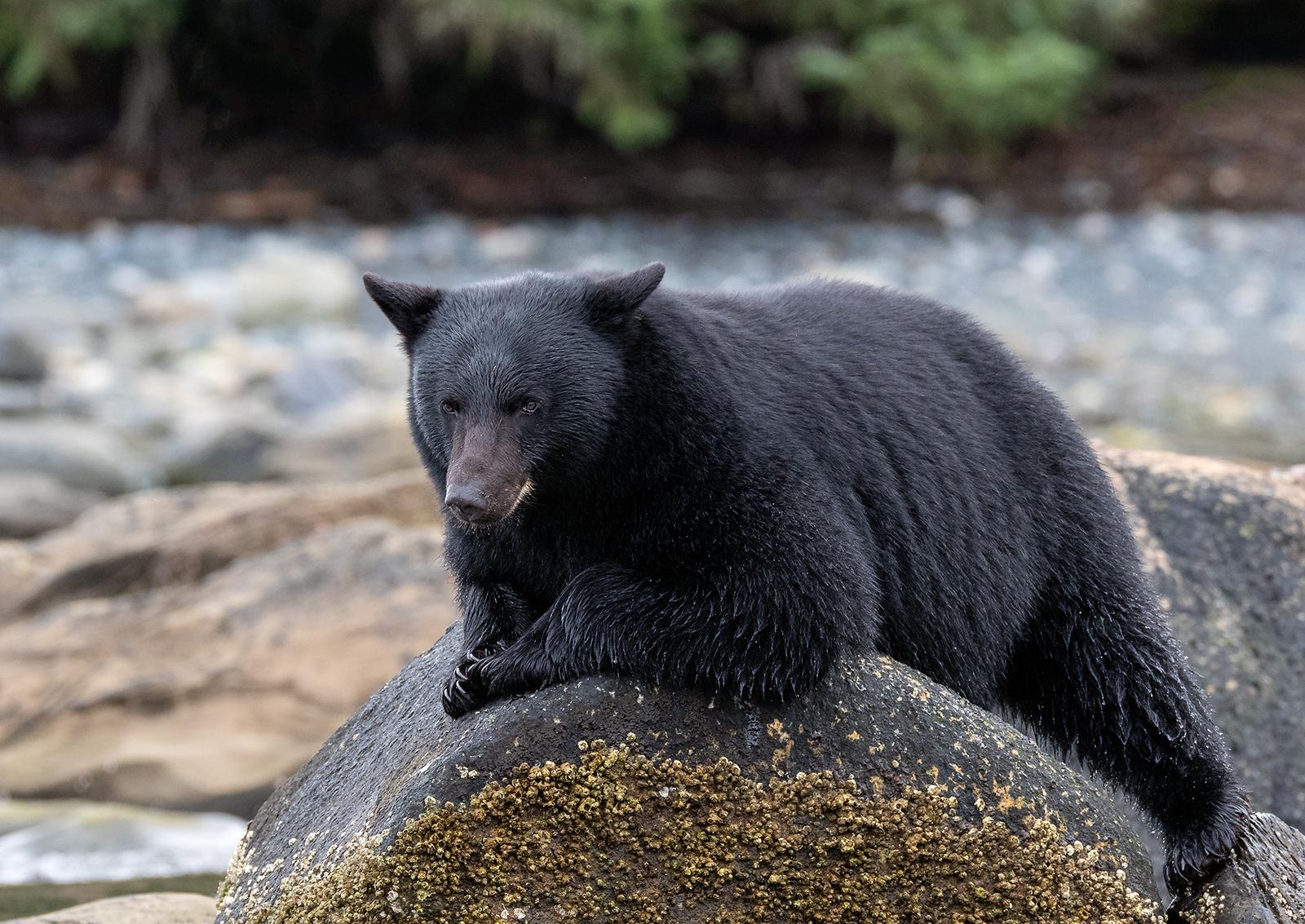 Keogh River Black Bear 001.jpg