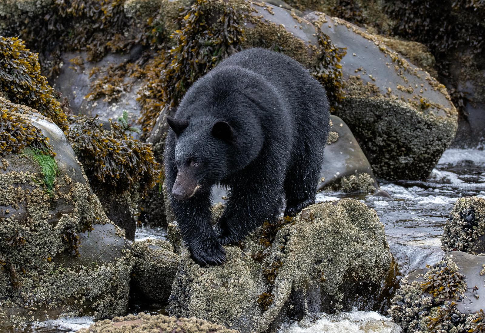 Keogh River Black Bear 002.jpg