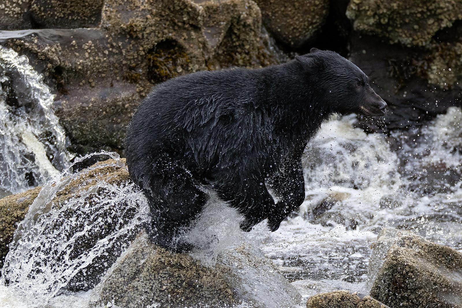 Keogh River Black Bear 004.jpg