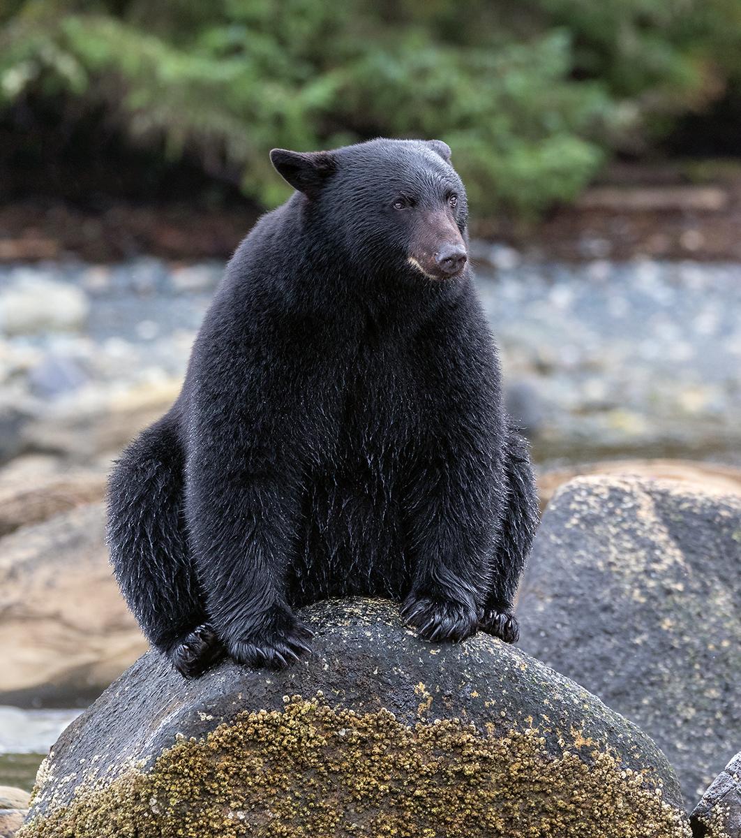 Keogh River Black Bear 007.jpg