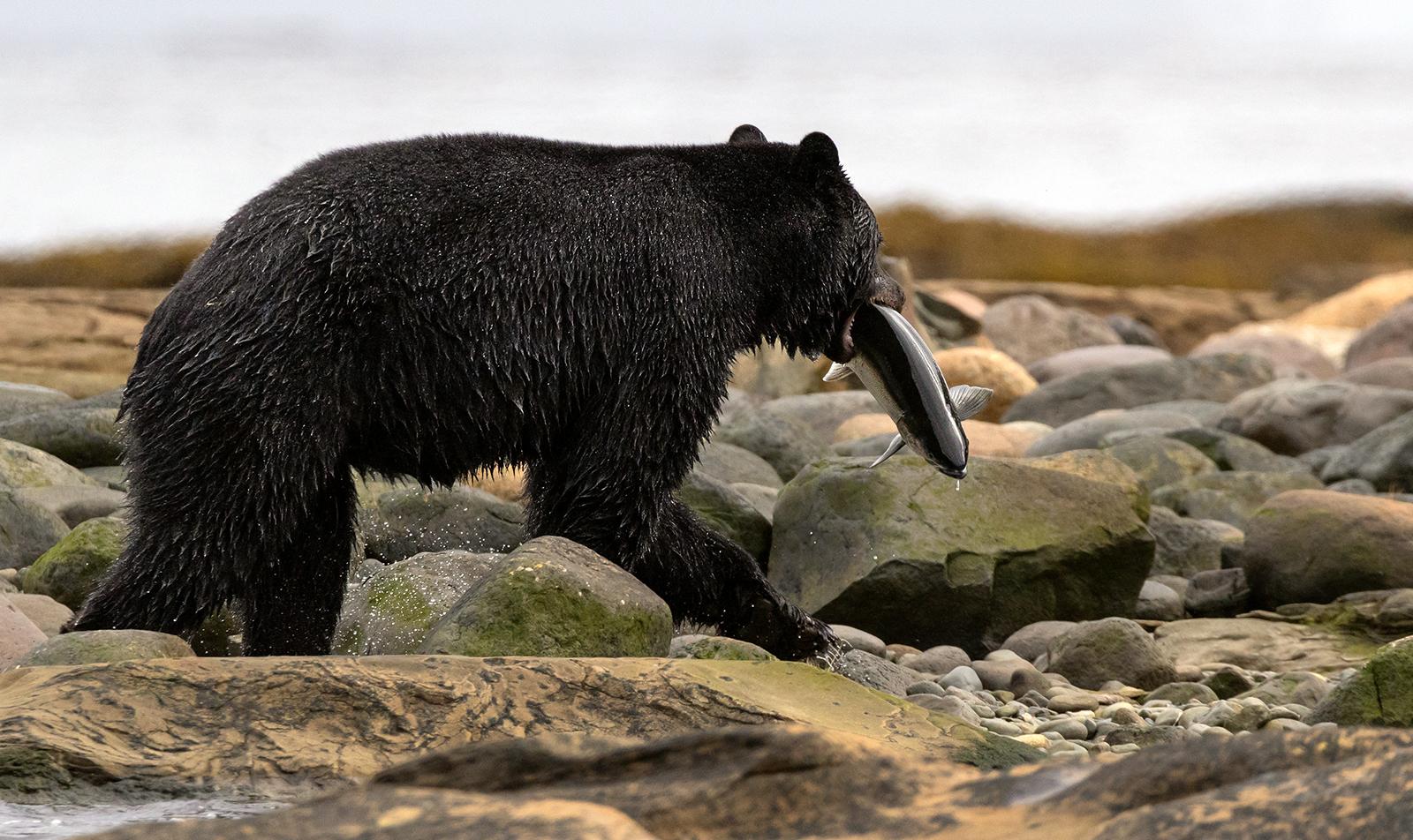 Keogh River Black Bear 009.jpg