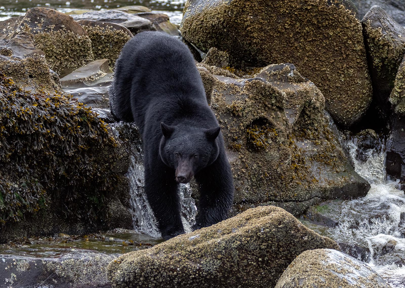 Keogh River Black Bear 010.jpg