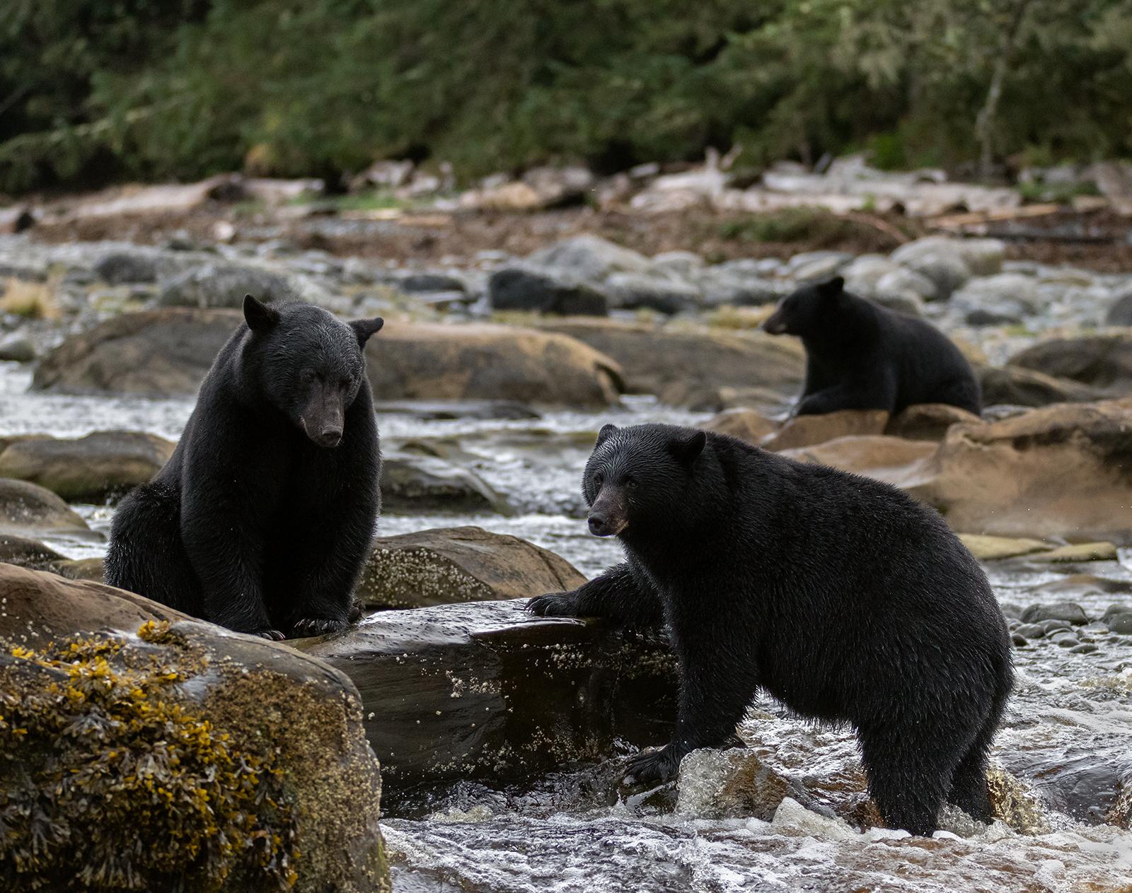 Keogh River Black Bear 011.jpg