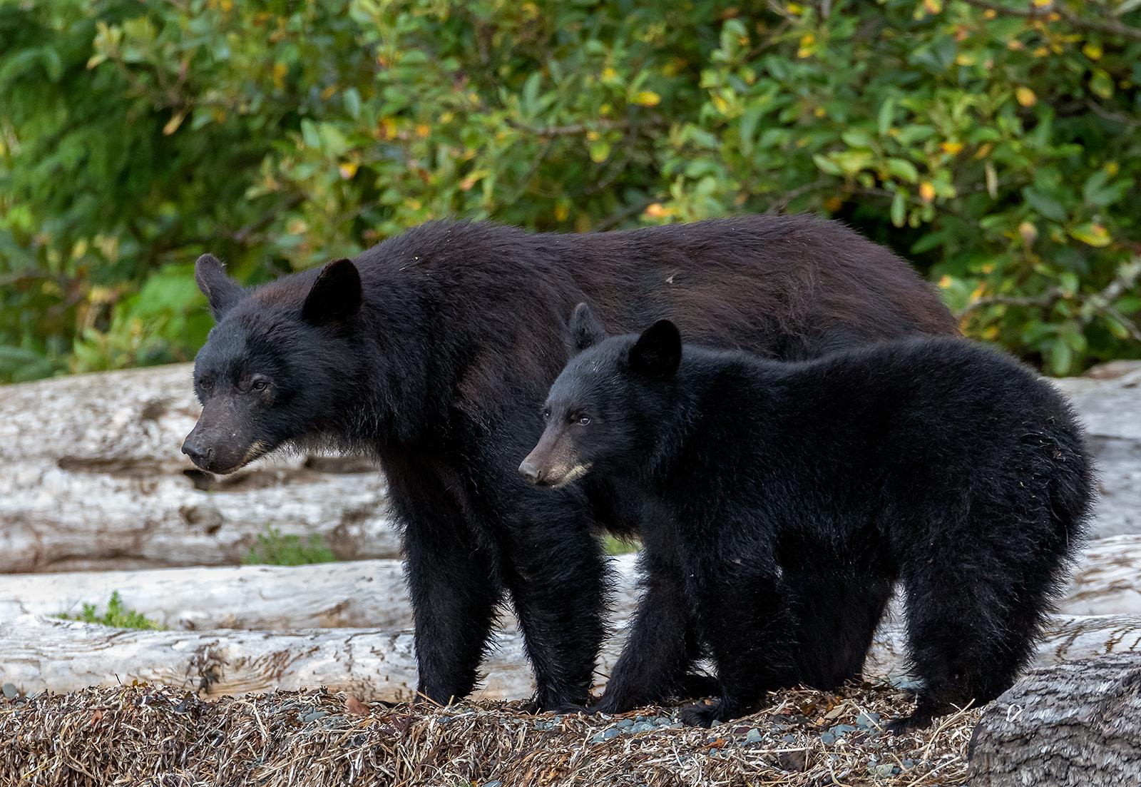 Keogh River Black Bear 012.jpg