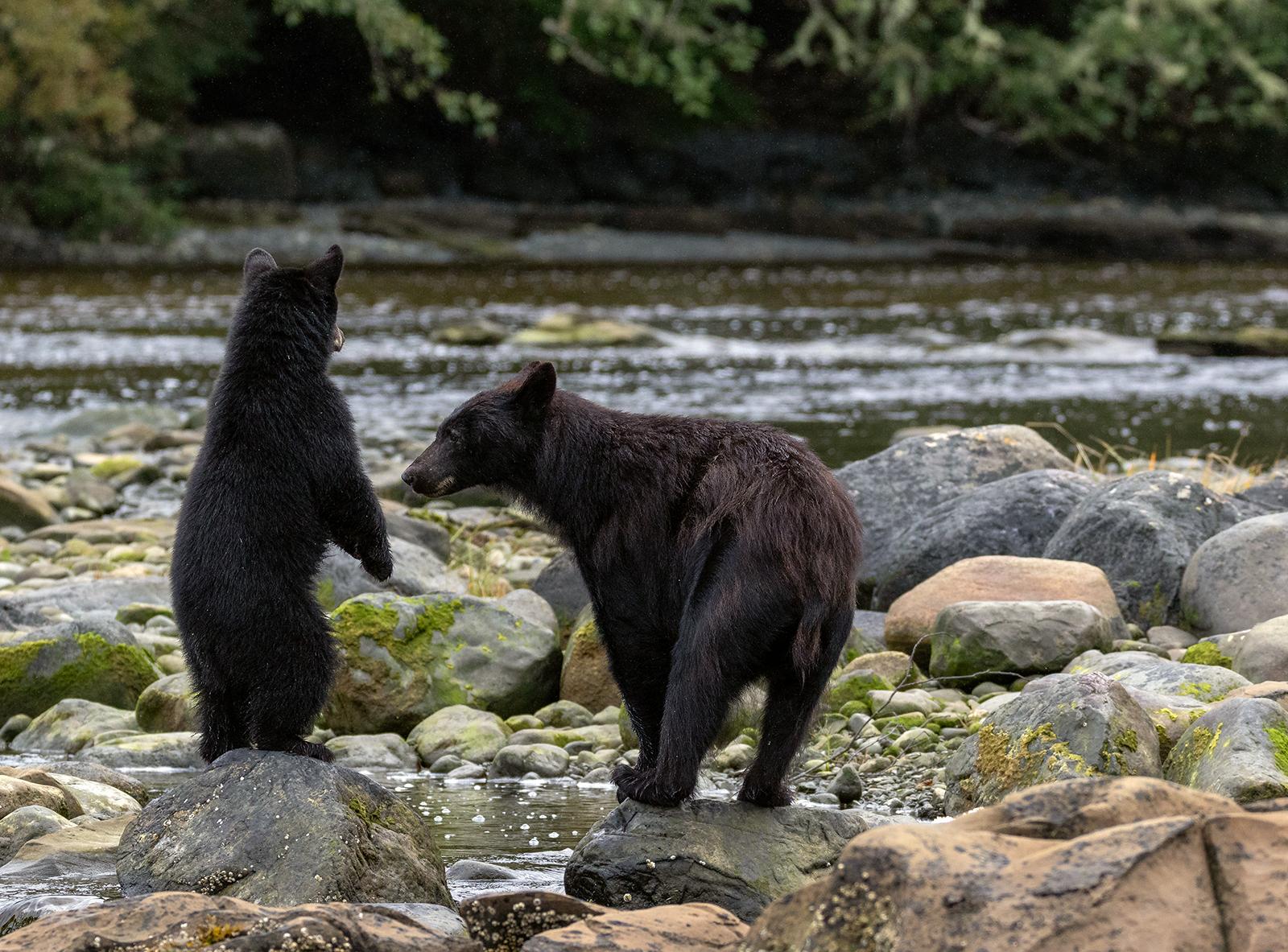 Keogh River Black Bear 013.jpg