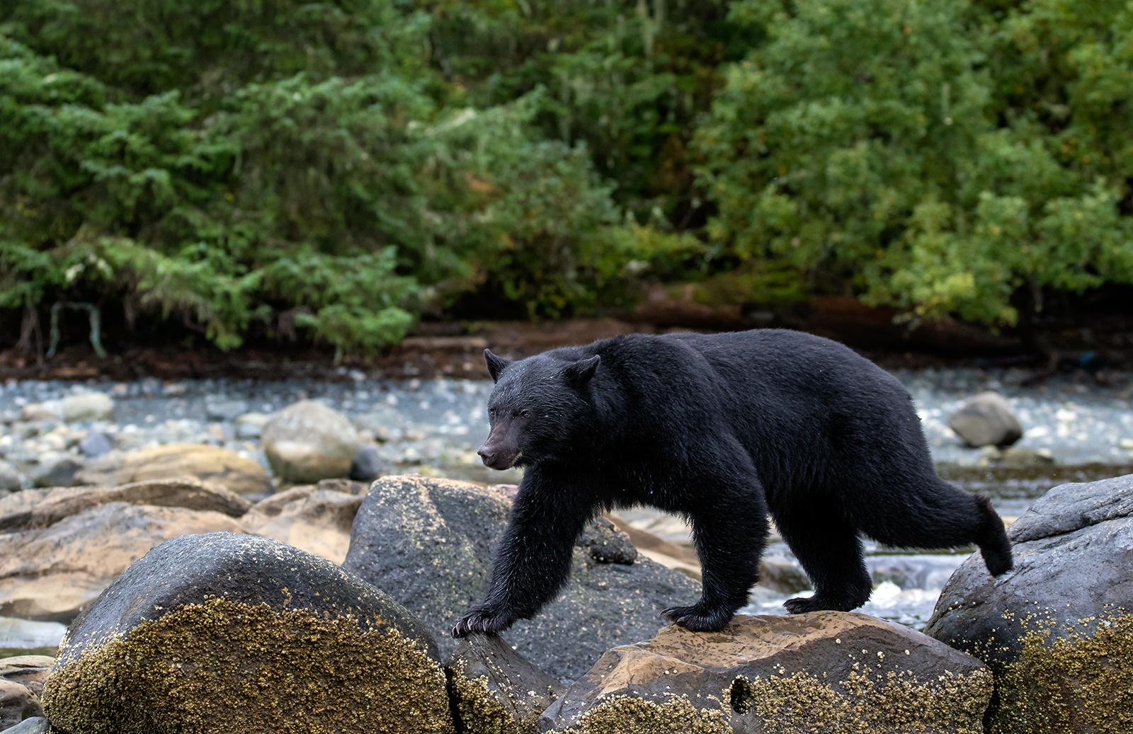 Keogh River Black Bear 014.jpg
