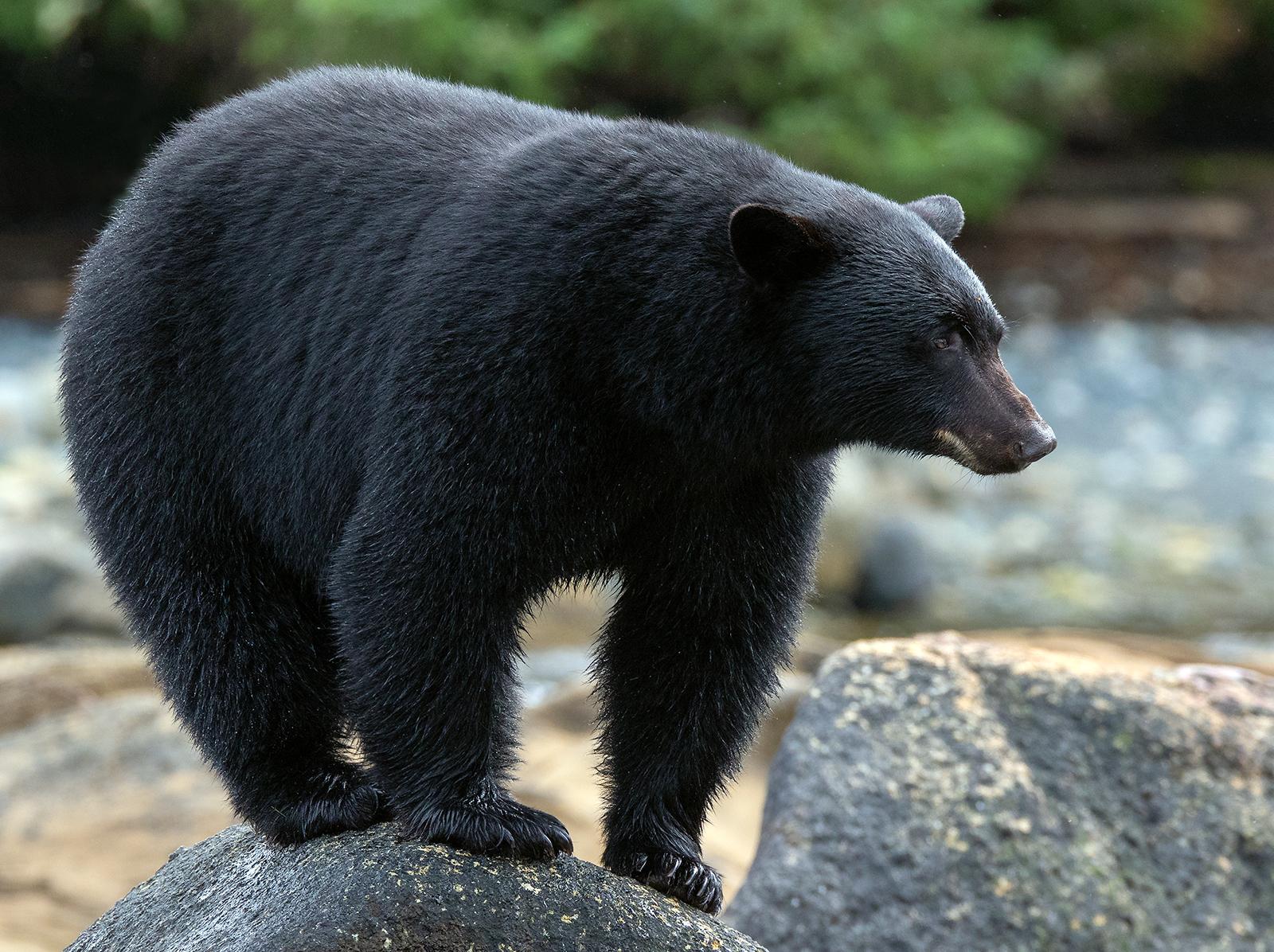 Keogh River Black Bear 016.jpg