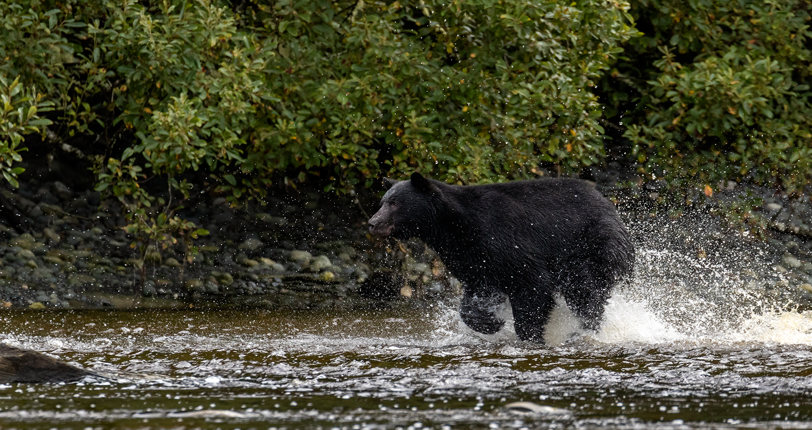 Keogh River Black Bear 017.jpg