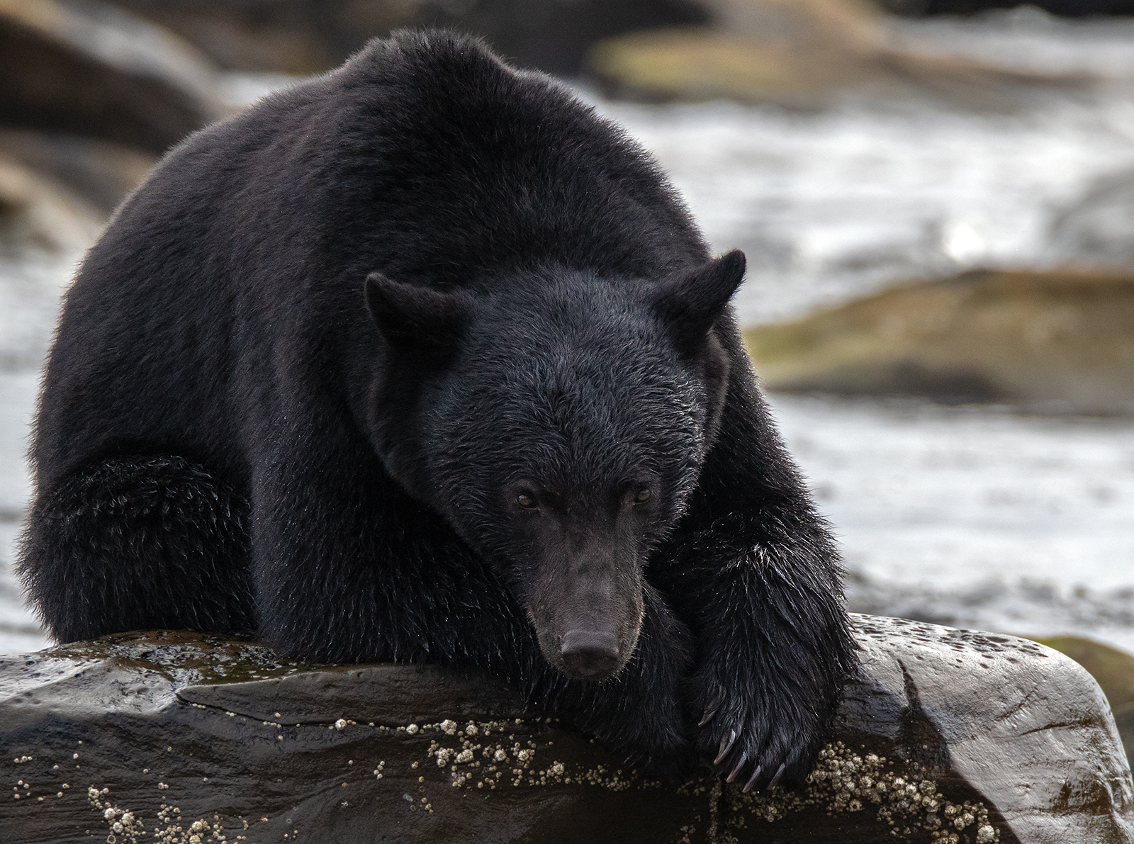 Large Male Black Bear Watching Me In Port Hardy