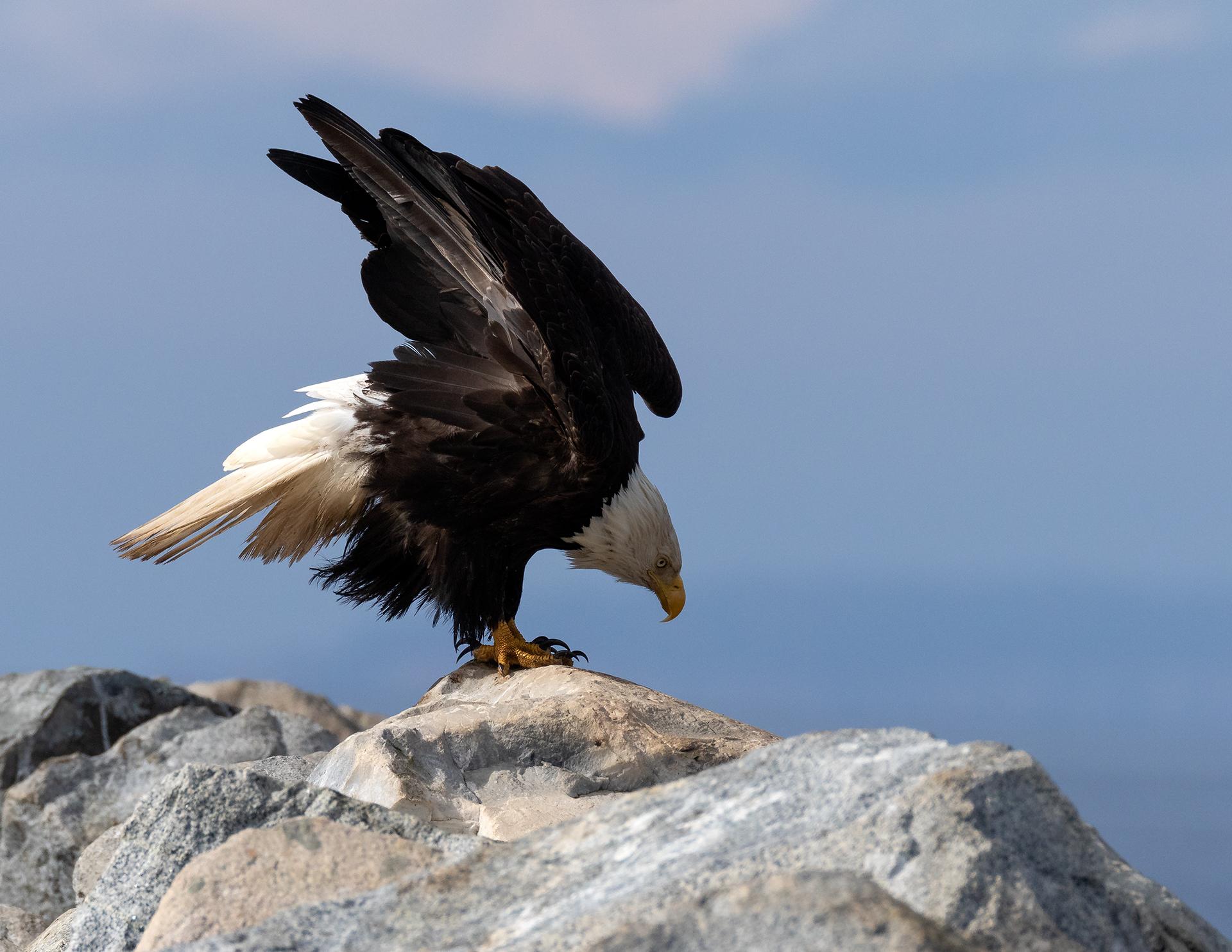 French Creek Eagle 005.jpg