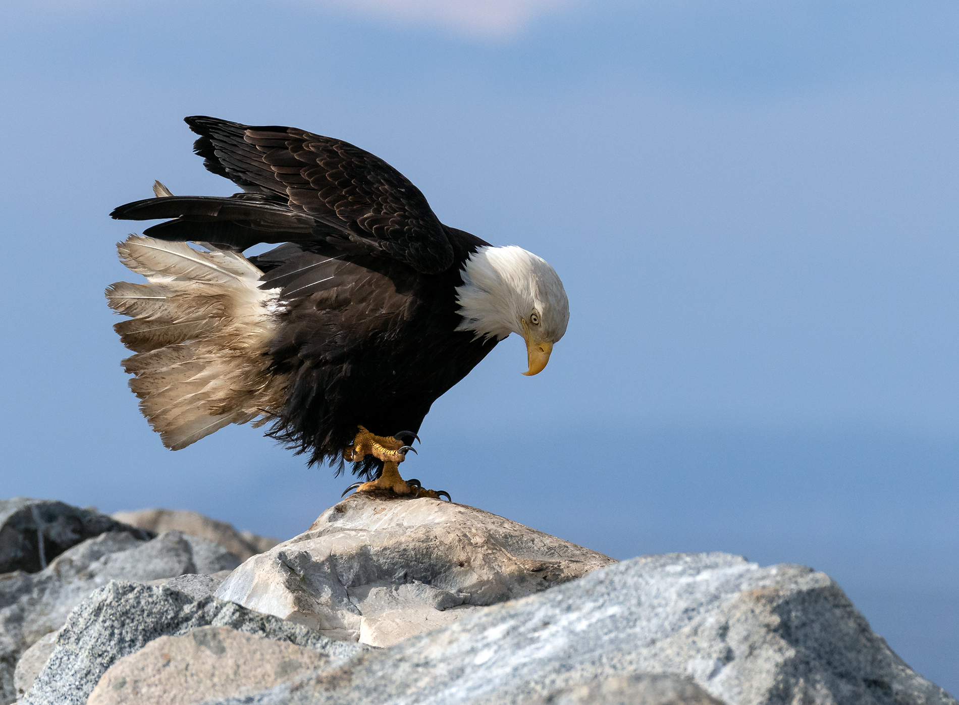 French Creek Eagle.jpg